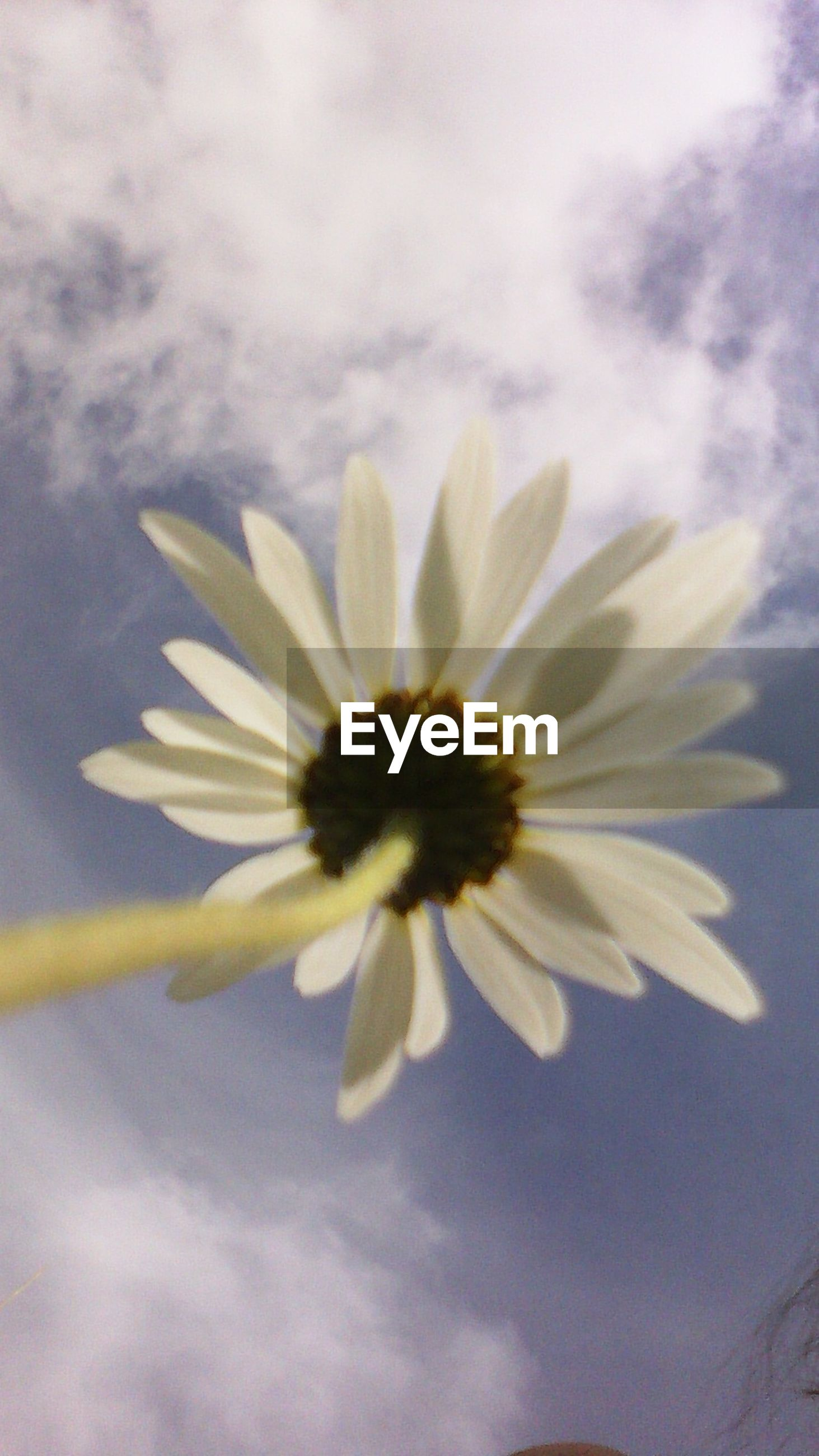 flower, petal, freshness, fragility, flower head, beauty in nature, growth, sky, nature, blooming, pollen, close-up, cloud - sky, single flower, white color, plant, low angle view, focus on foreground, in bloom, outdoors