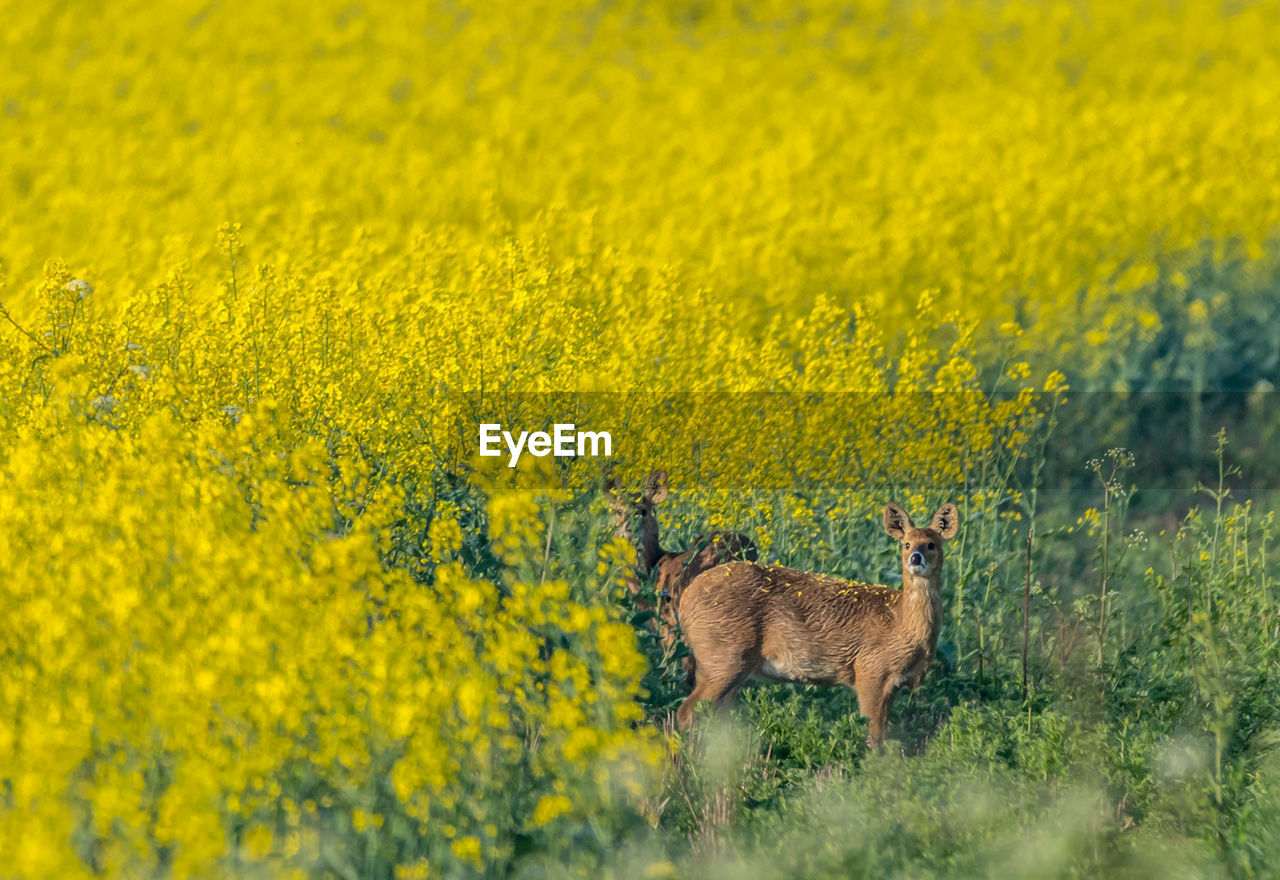yellow, animal, animal themes, mammal, animal wildlife, beauty in nature, field, plant, animals in the wild, flower, one animal, land, no people, flowering plant, domestic animals, agriculture, vertebrate, nature, standing, scenics - nature, outdoors, springtime