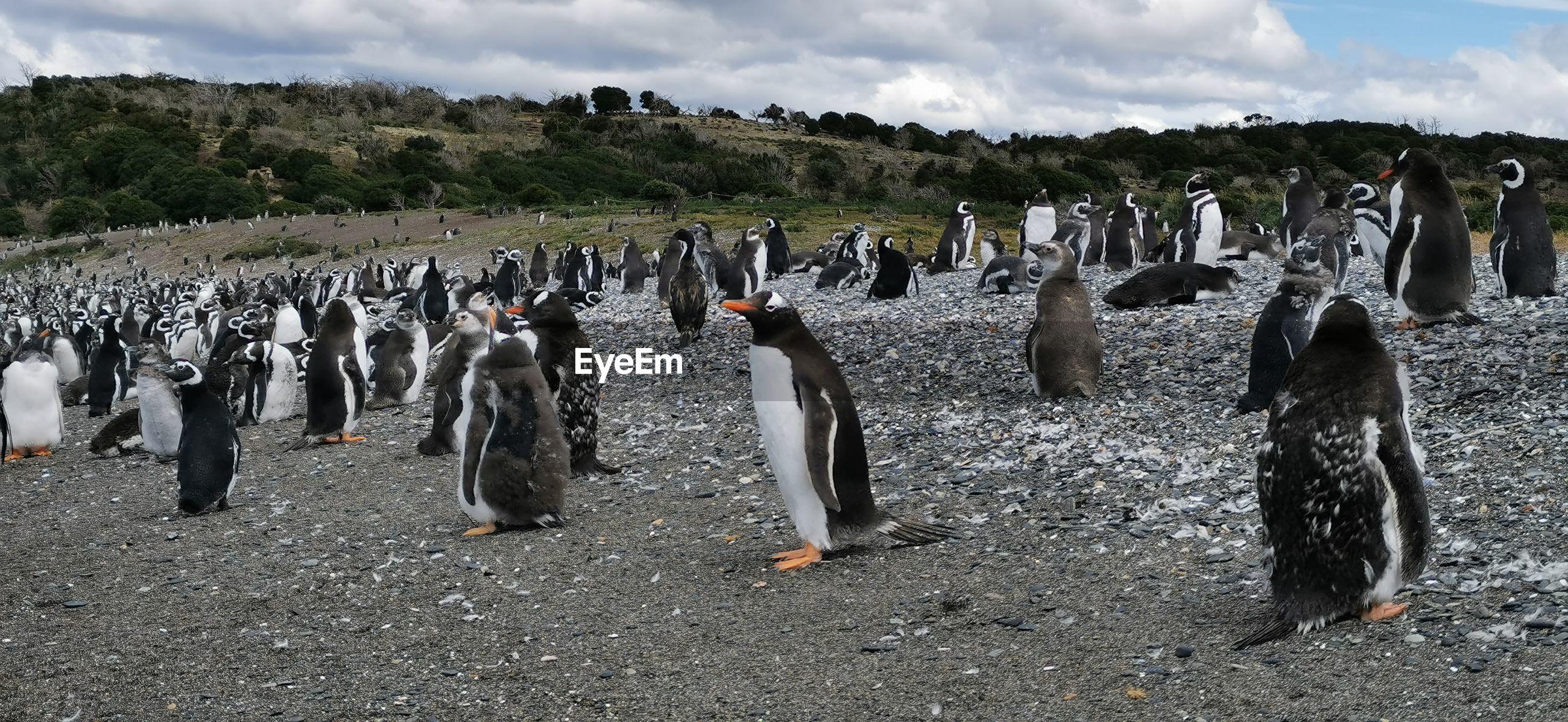 Penguins in ushuaia, patagonia argentina