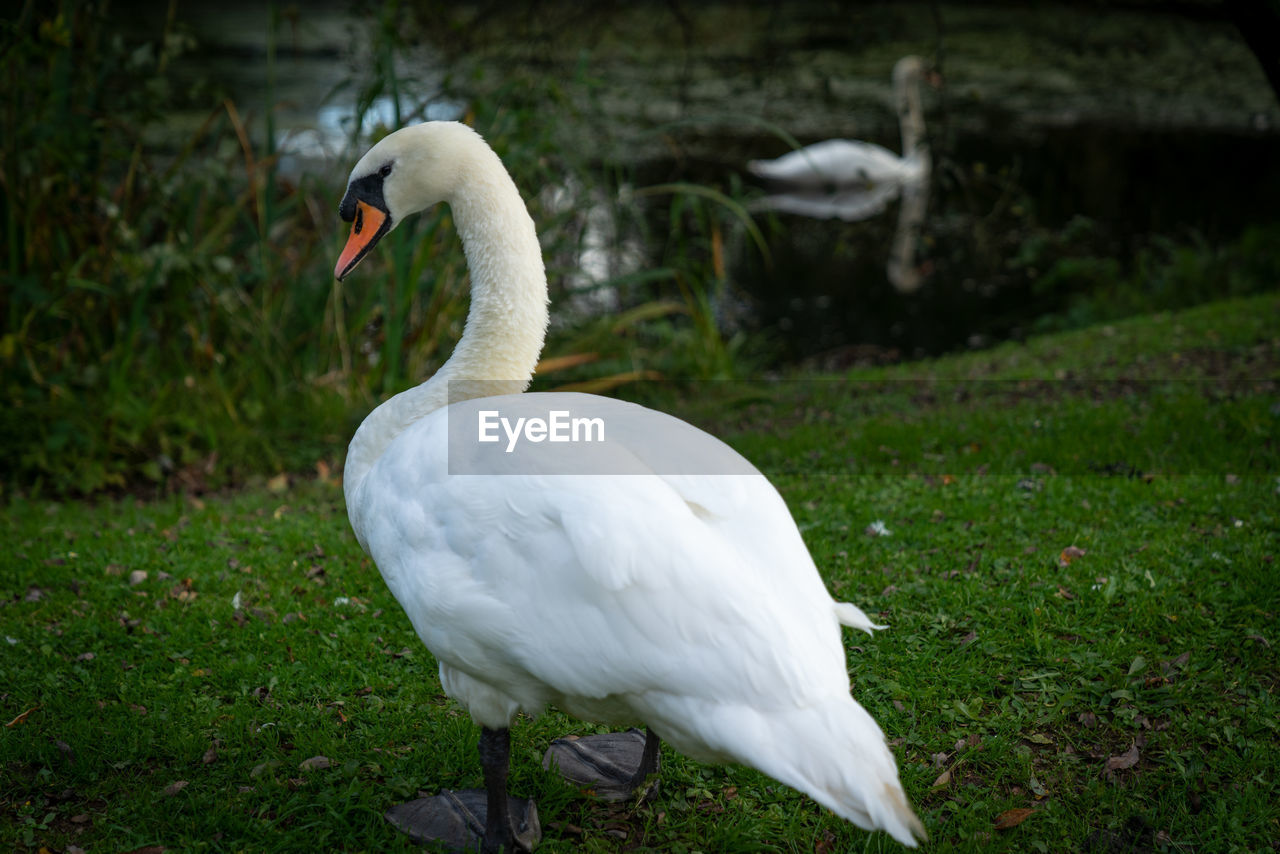 bird, animals in the wild, animal themes, animal wildlife, animal, vertebrate, grass, one animal, white color, swan, nature, day, plant, land, focus on foreground, field, no people, green color, water, water bird, outdoors, beak, animal neck