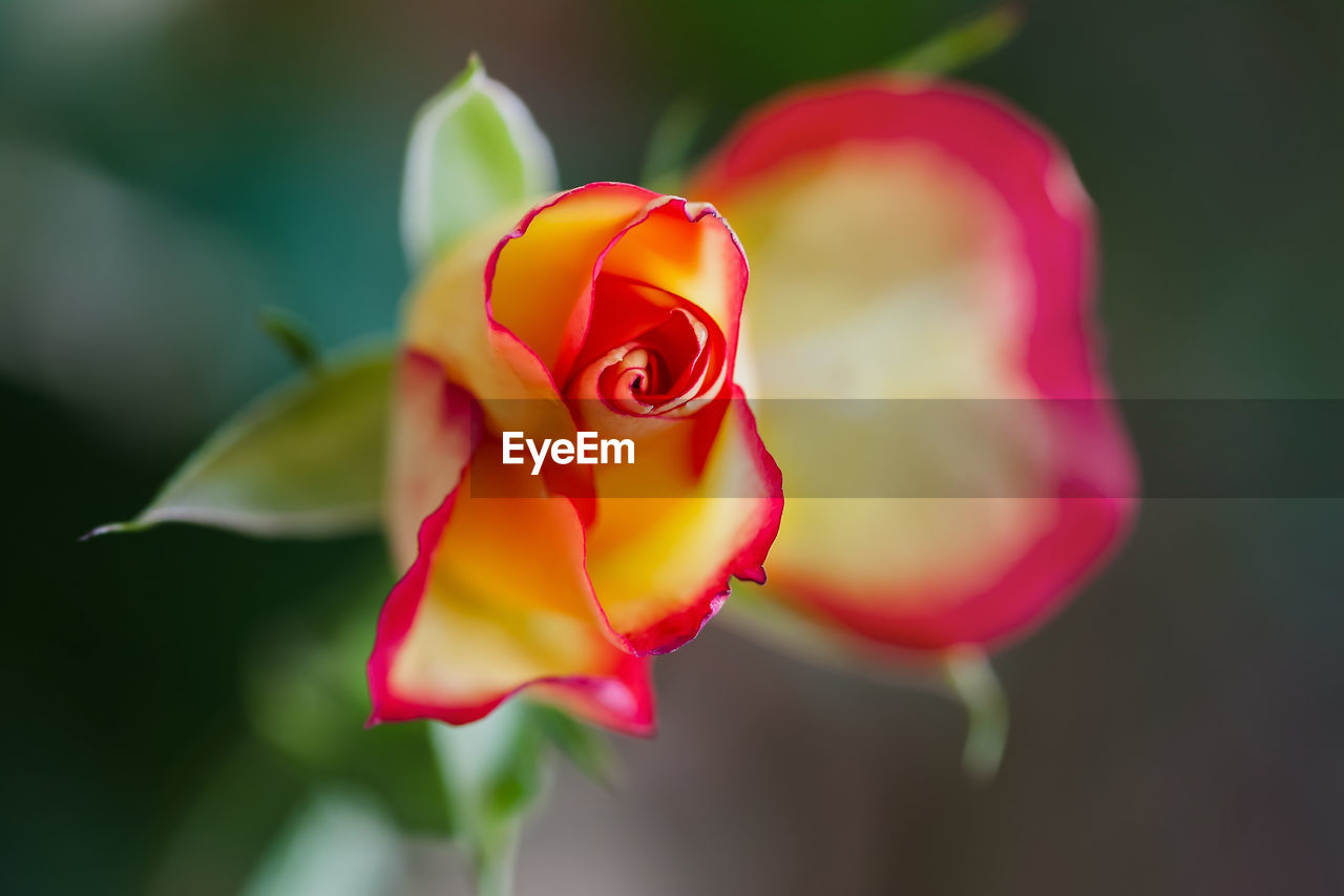 flower, flowering plant, beauty in nature, petal, plant, vulnerability, fragility, freshness, close-up, flower head, inflorescence, rose, rose - flower, focus on foreground, red, growth, no people, nature, day, outdoors, sepal