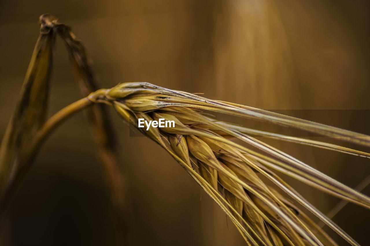 Single grain ear with bokeh