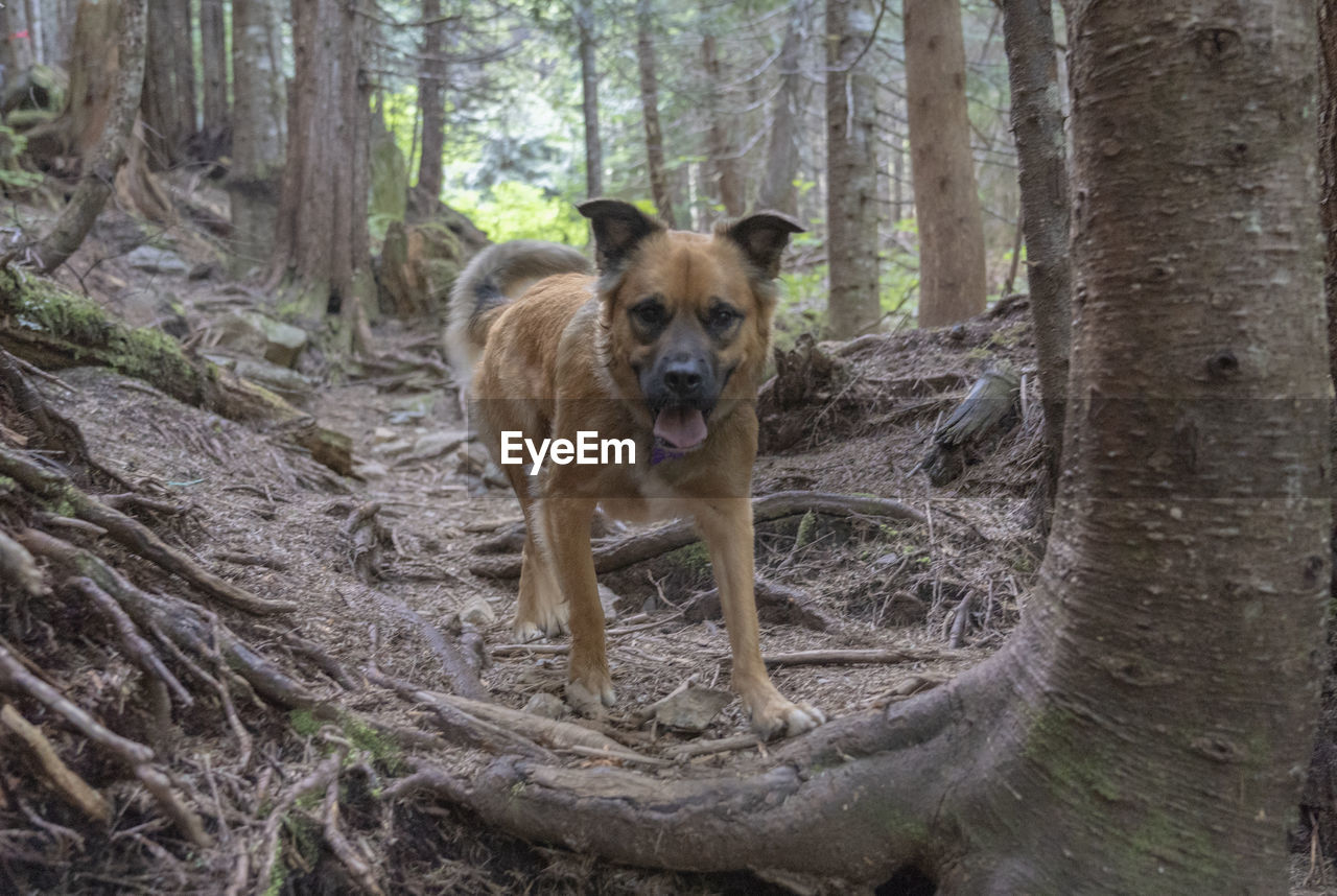 mammal, one animal, tree, animal themes, dog, canine, animal, tree trunk, trunk, domestic animals, land, portrait, domestic, forest, pets, plant, looking at camera, vertebrate, day, no people, outdoors, woodland, mouth open
