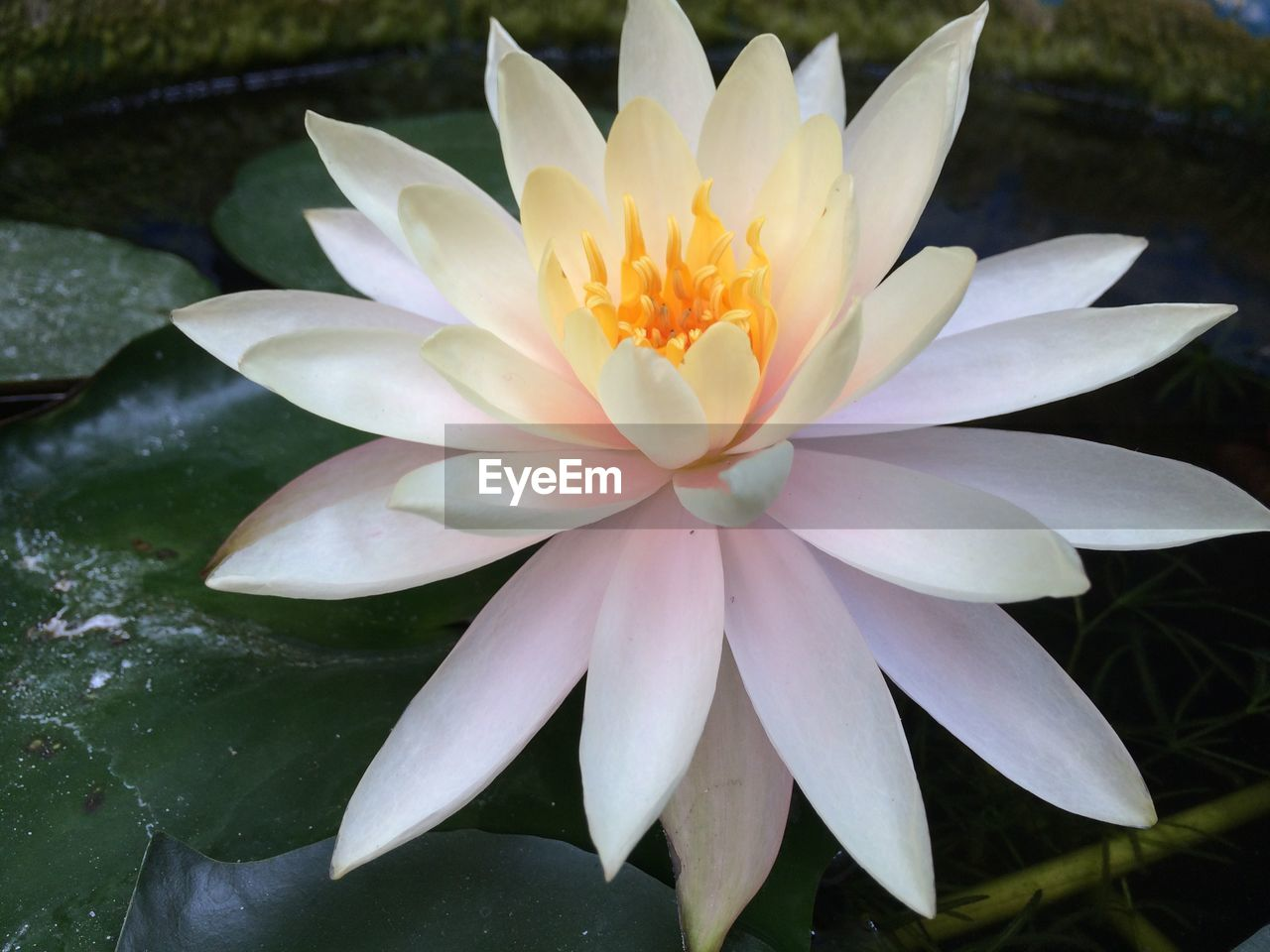 flower, flowering plant, petal, plant, vulnerability, beauty in nature, fragility, flower head, freshness, inflorescence, growth, close-up, nature, water lily, no people, water, leaf, lake, plant part, day