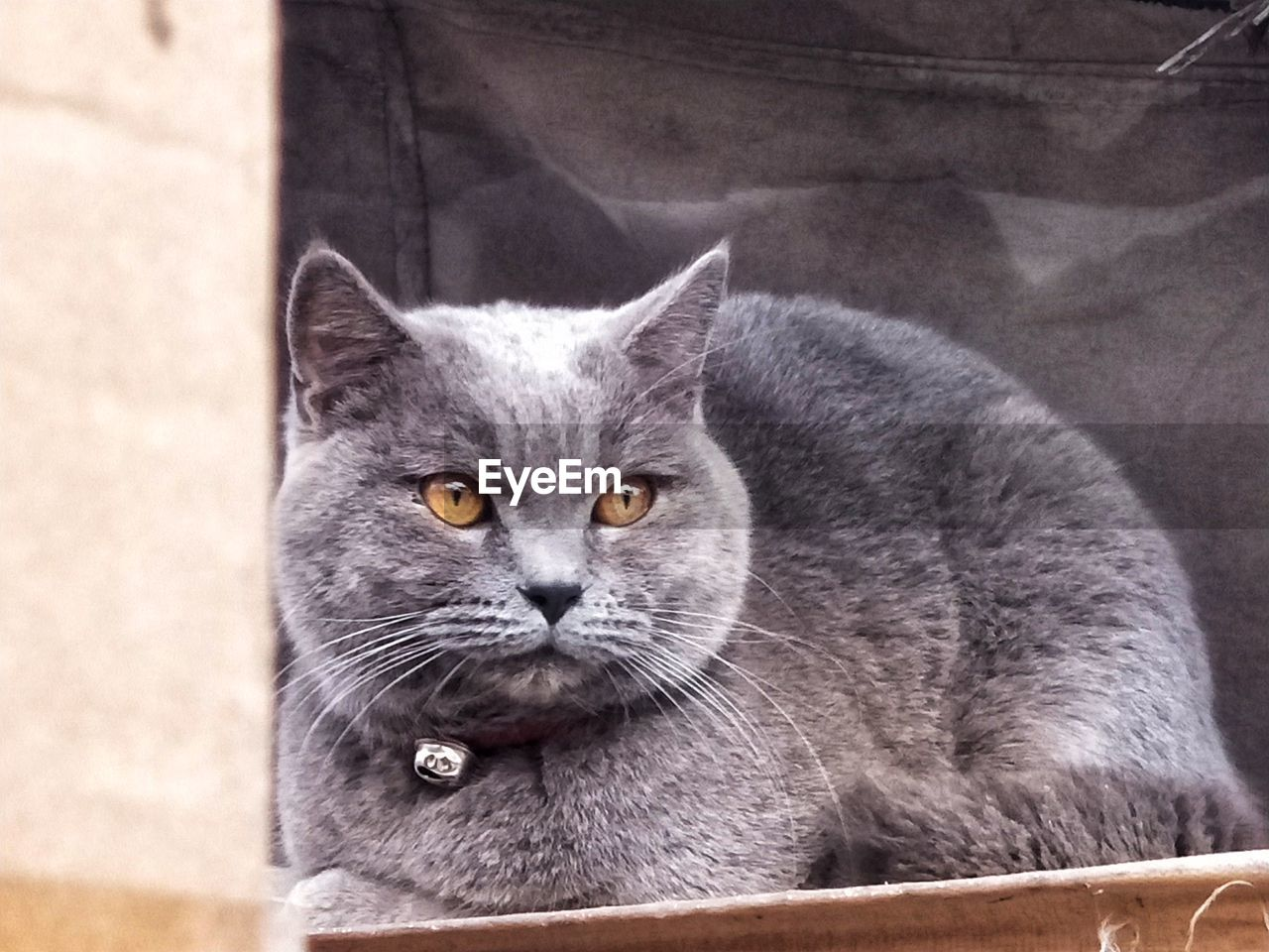 domestic, mammal, animal themes, pets, domestic animals, domestic cat, cat, animal, feline, one animal, portrait, looking at camera, vertebrate, whisker, close-up, focus on foreground, no people, gray, relaxation, day, yellow eyes, animal eye