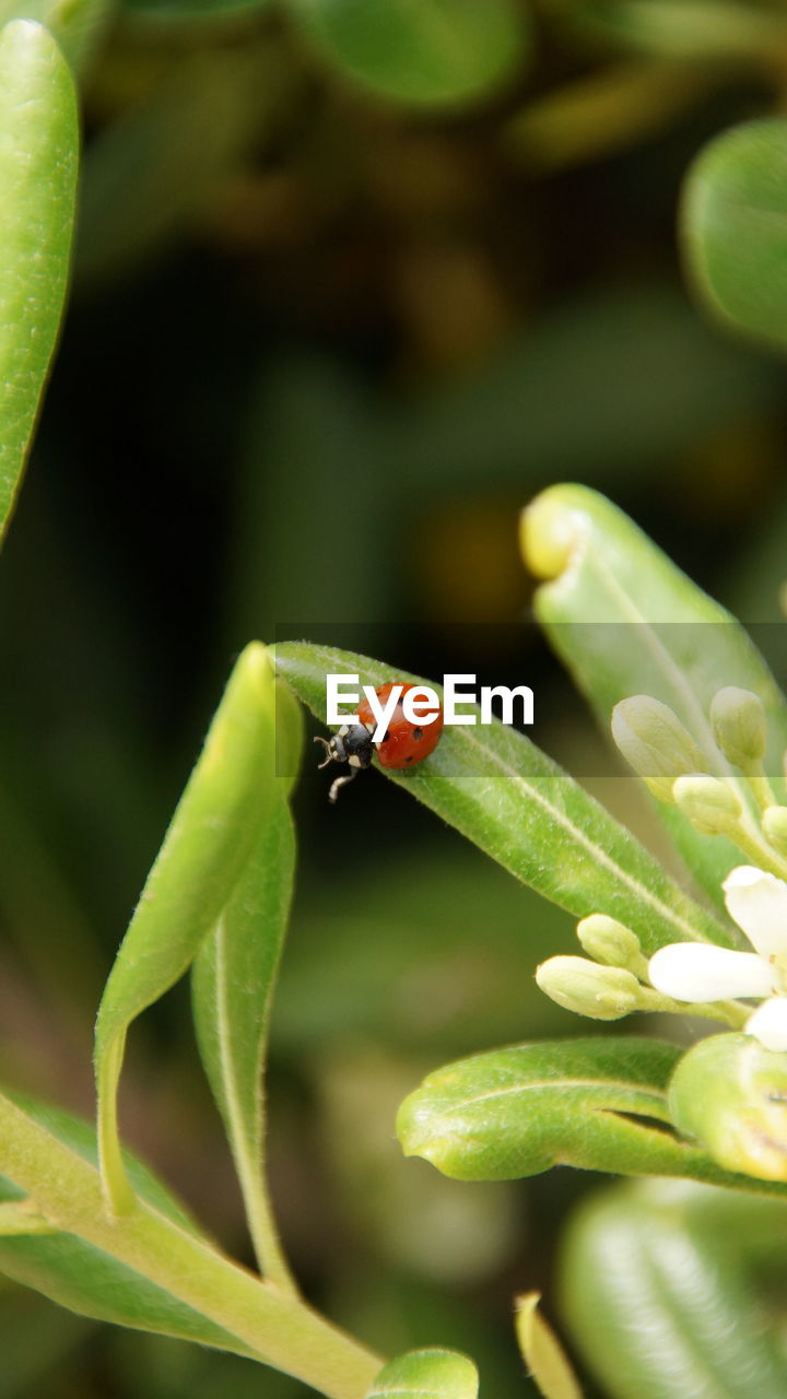 invertebrate, insect, animal wildlife, animal, animal themes, animals in the wild, one animal, green color, close-up, plant, plant part, leaf, no people, focus on foreground, ladybug, beetle, nature, day, growth, selective focus