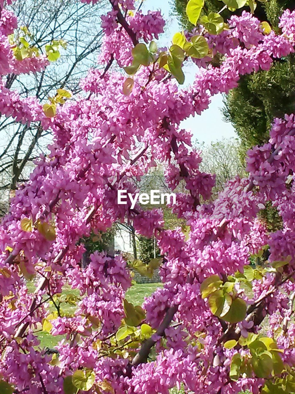 flower, pink color, beauty in nature, growth, blossom, fragility, springtime, freshness, tree, nature, botany, no people, branch, low angle view, petal, rhododendron, day, pink, backgrounds, outdoors, close-up, lilac, flower head