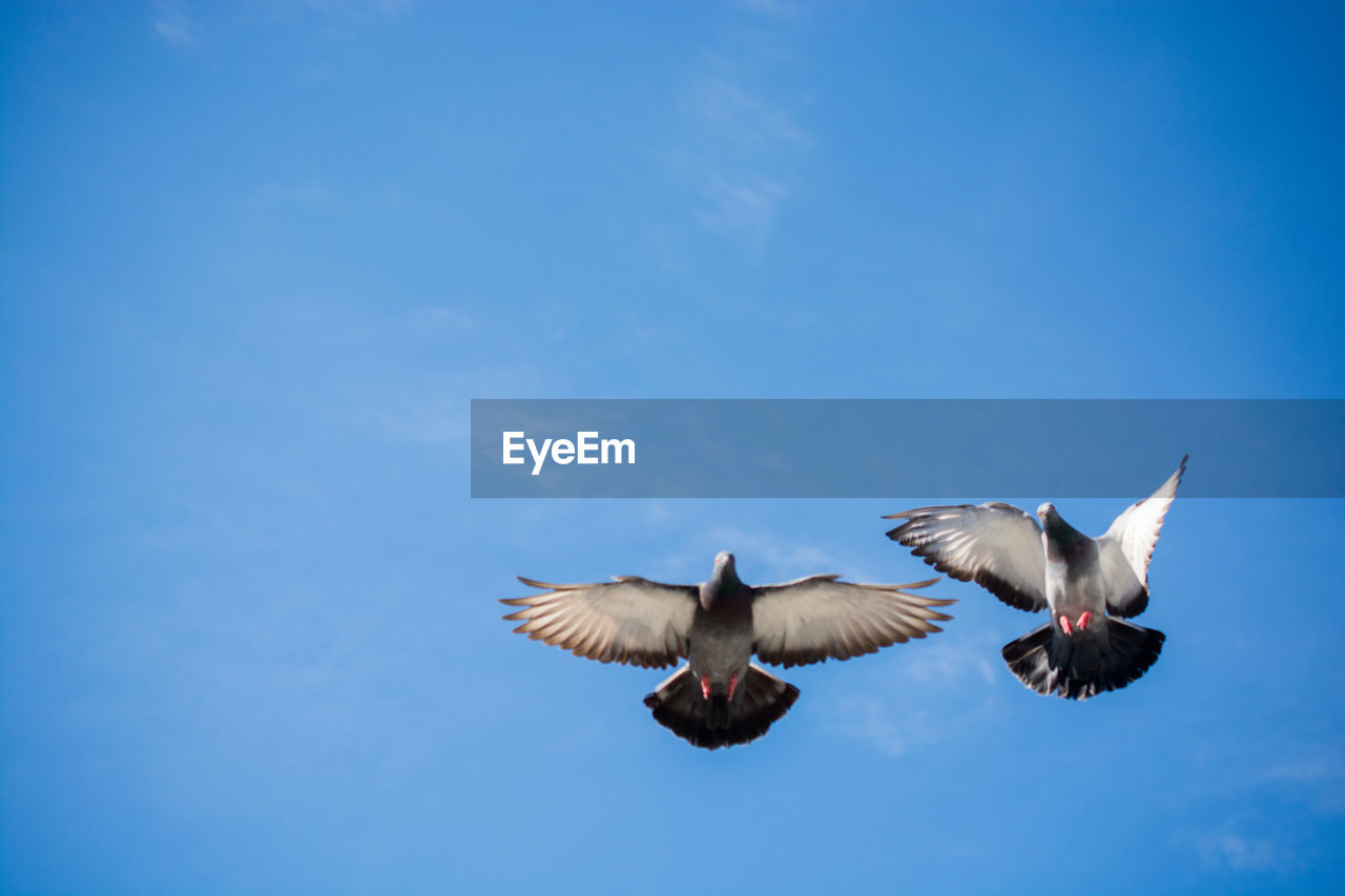 flying, animal wildlife, animals in the wild, bird, spread wings, vertebrate, animal themes, animal, sky, low angle view, blue, no people, motion, mid-air, cloud - sky, nature, group of animals, day, two animals, seagull, flapping
