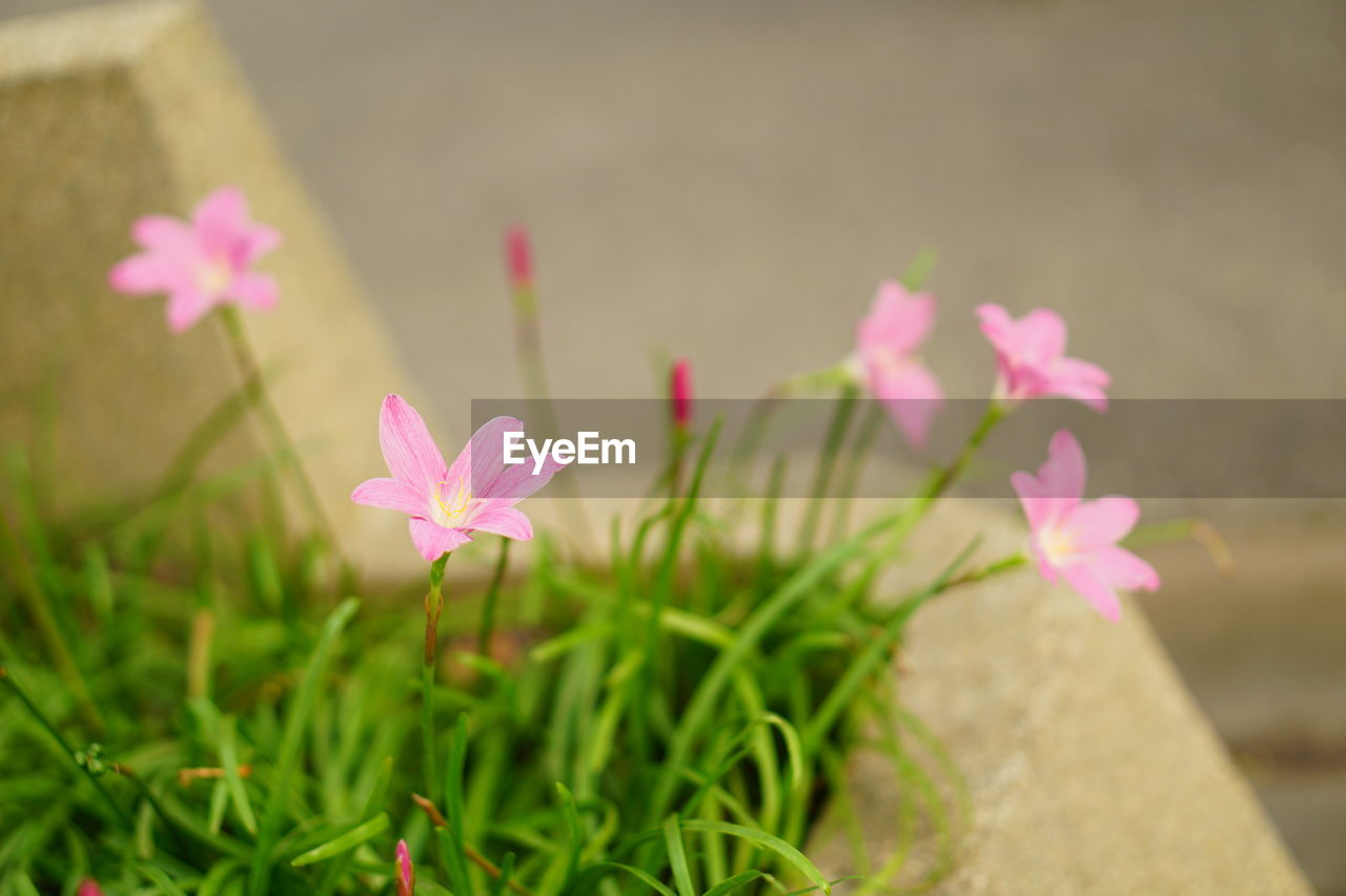 flower, pink color, petal, growth, beauty in nature, freshness, plant, nature, fragility, flower head, blooming, no people, outdoors, day, periwinkle, green color, leaf, close-up, crocus