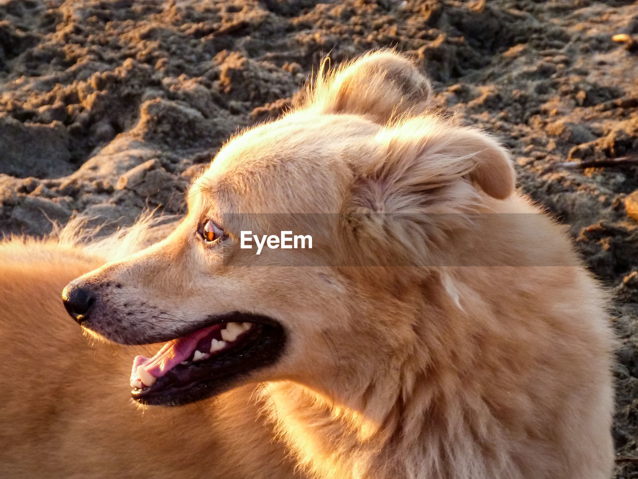 one animal, animal, dog, animal themes, mammal, canine, domestic, pets, domestic animals, vertebrate, side view, no people, animal body part, looking, mouth open, mouth, close-up, animal head, looking away, focus on foreground, profile view, animal mouth