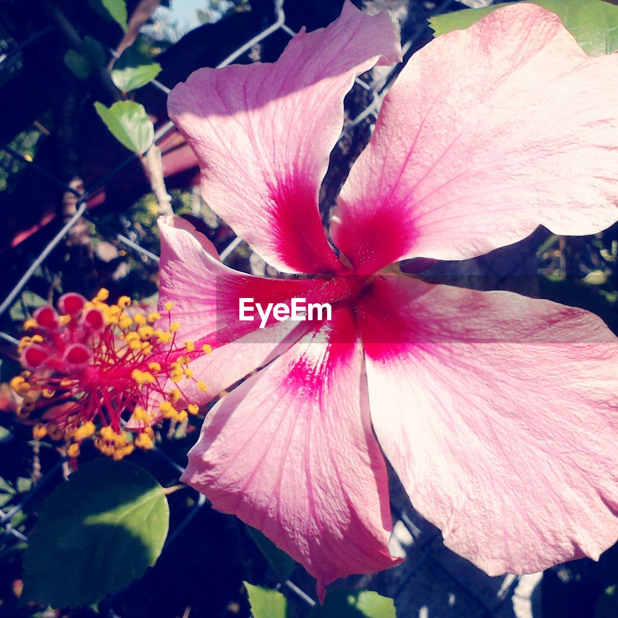 flower, petal, freshness, fragility, flower head, growth, beauty in nature, pink color, close-up, stamen, nature, hibiscus, blooming, pollen, leaf, plant, in bloom, single flower, focus on foreground, red