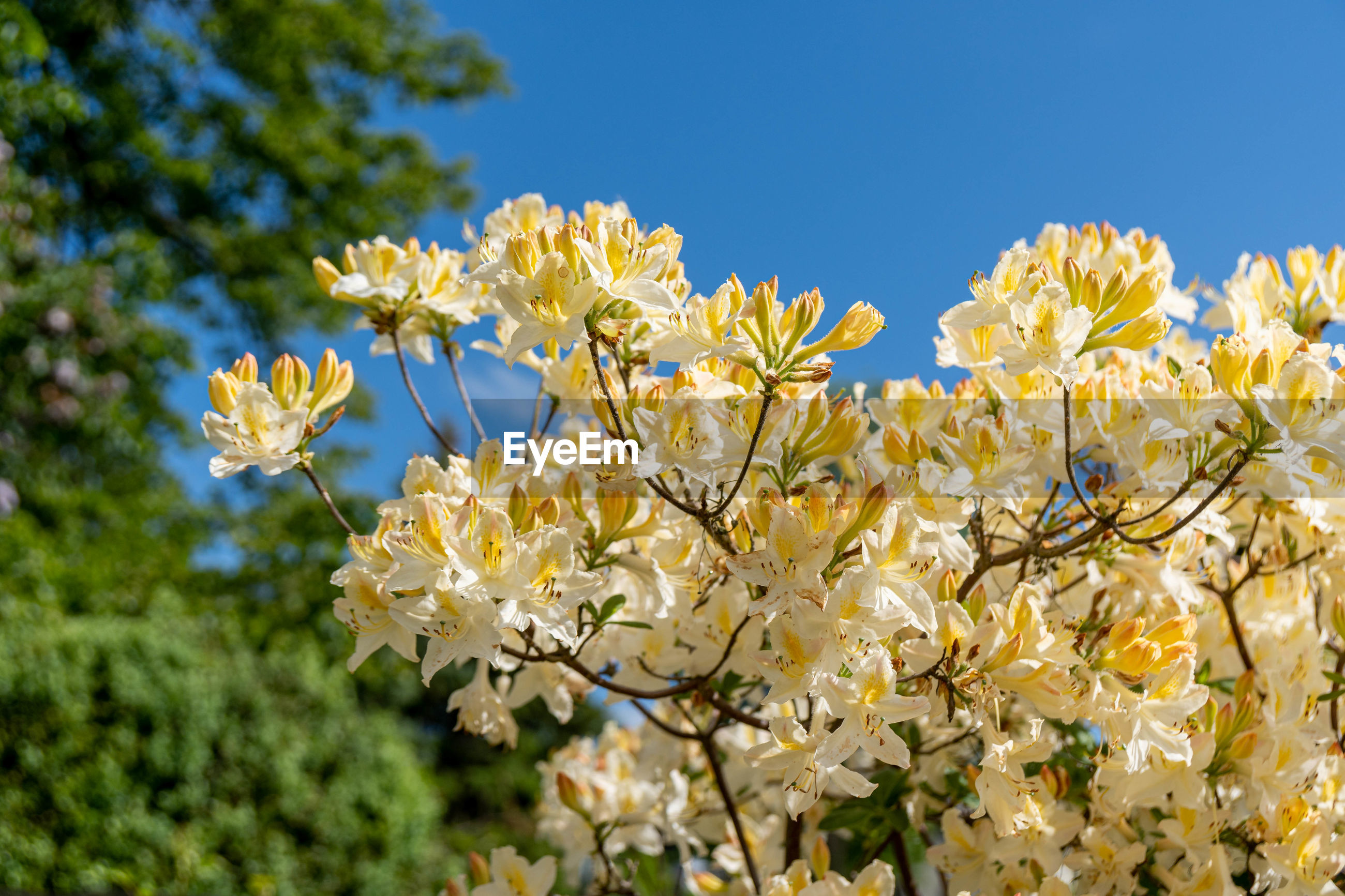 CLOSE-UP OF YELLOW CHERRY BLOSSOMS AGAINST SKY