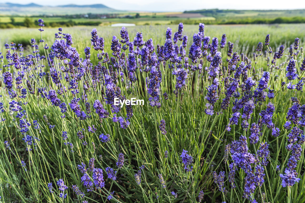 flower, flowering plant, plant, growth, beauty in nature, field, vulnerability, land, purple, fragility, freshness, nature, landscape, lavender, tranquil scene, tranquility, day, no people, environment, rural scene, outdoors, springtime, flower head, flowerbed