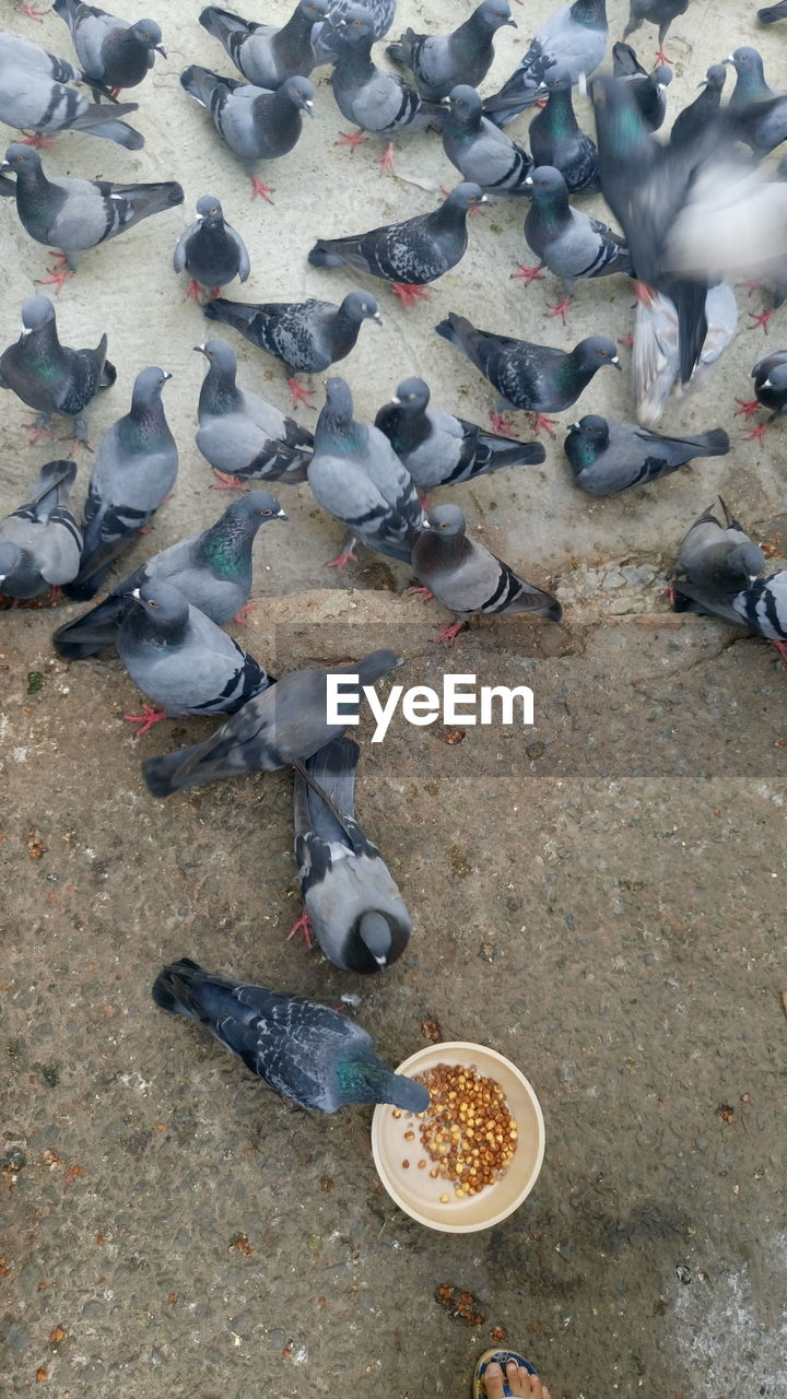 bird, animal themes, high angle view, animals in the wild, large group of animals, food, animal wildlife, food and drink, eating, feeding, grain, day, no people, flock of birds, outdoors, nature, spread wings