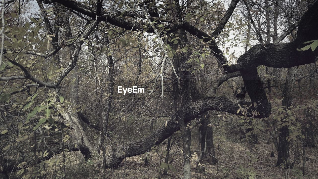 tree, branch, nature, tree trunk, no people, beauty in nature, day, outdoors, tranquility, forest, bare tree, scenics
