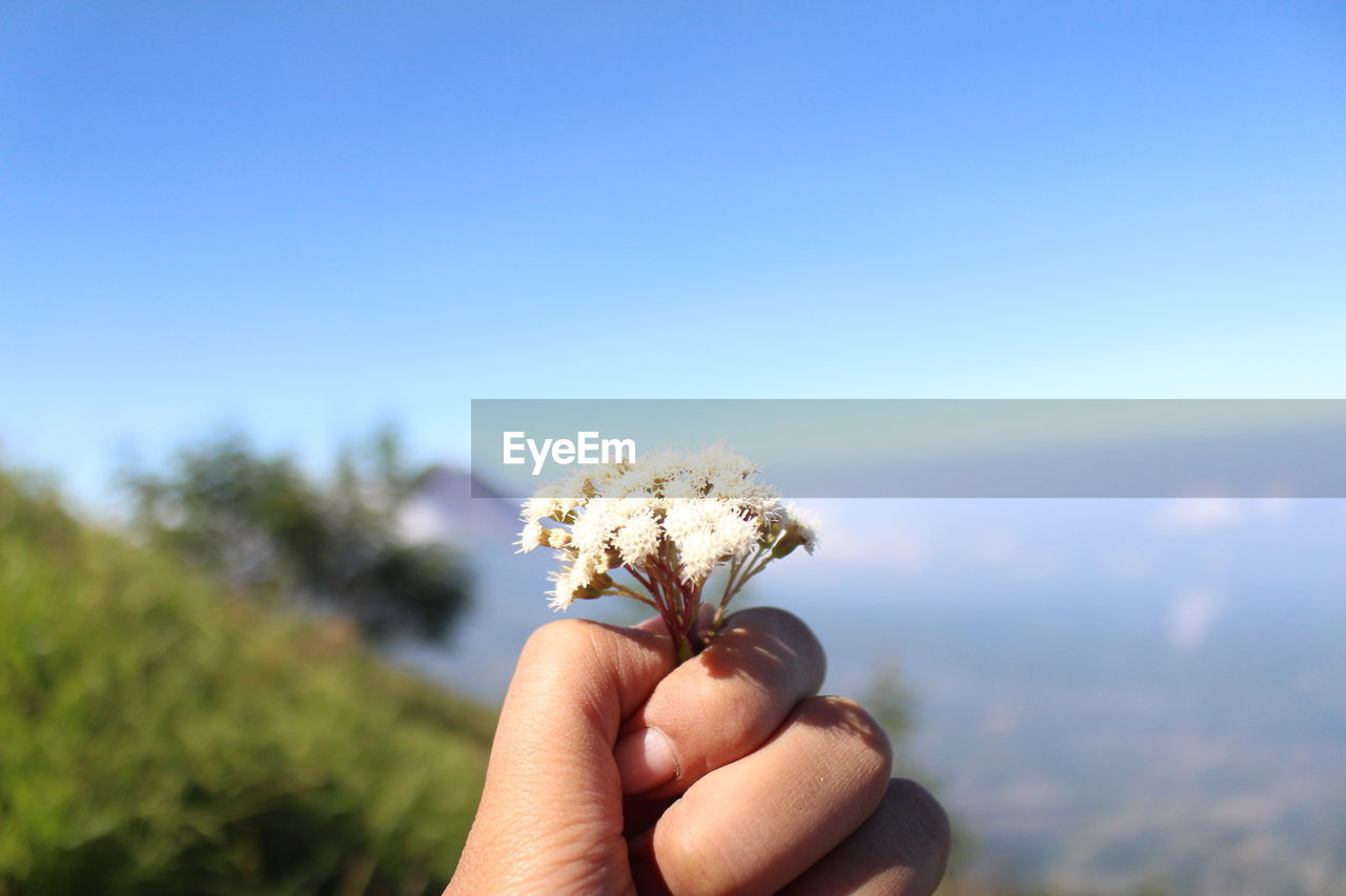 Close-up of hand holding small white flower