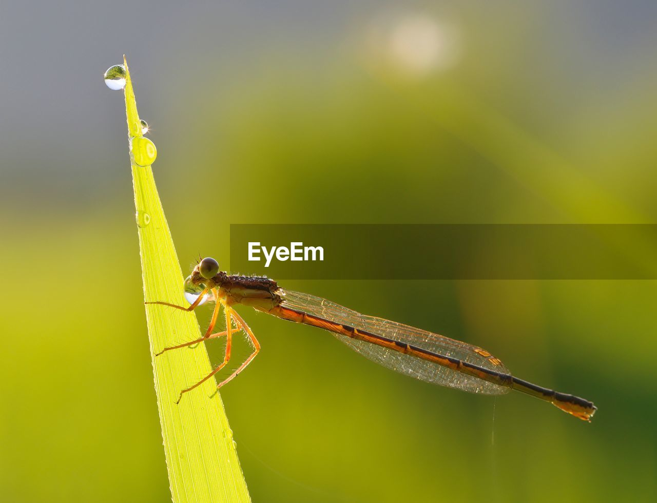 one animal, animal wildlife, animal themes, animals in the wild, animal, insect, invertebrate, close-up, focus on foreground, nature, green color, plant, day, plant part, leaf, no people, outdoors, sunlight, grasshopper, damselfly, blade of grass