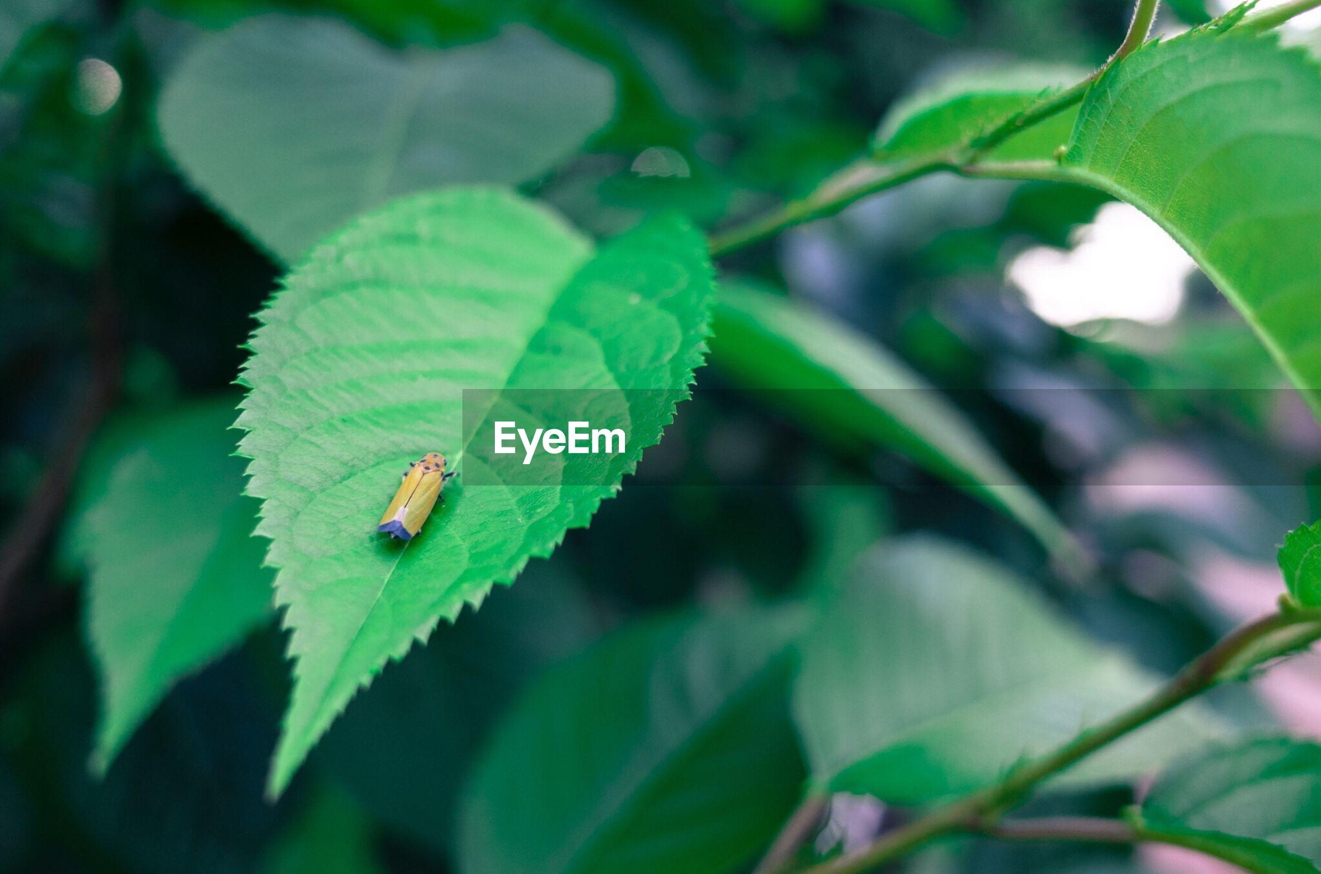 Close-up of bug on green leaf