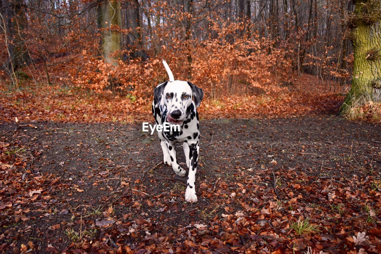 Dog Walking Outdoors In Autumn