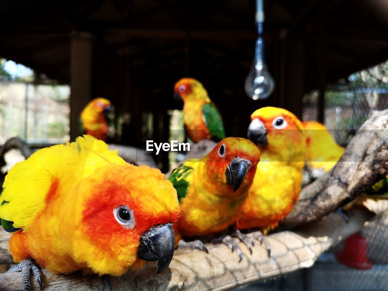 group of animals, bird, animal, animal themes, vertebrate, focus on foreground, animal wildlife, no people, close-up, yellow, parrot, day, animals in the wild, nature, outdoors, animals in captivity, representation, four animals, parakeet, wood - material
