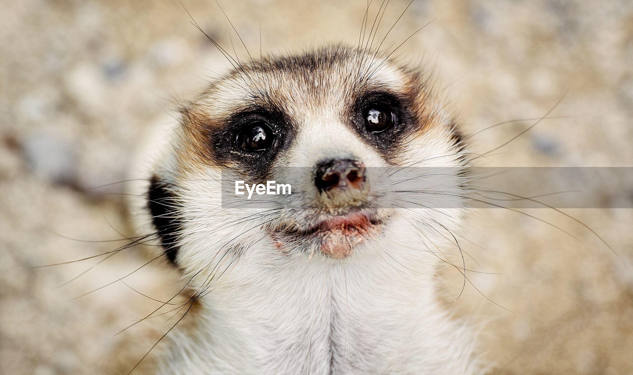 Close-up of cute meerkat