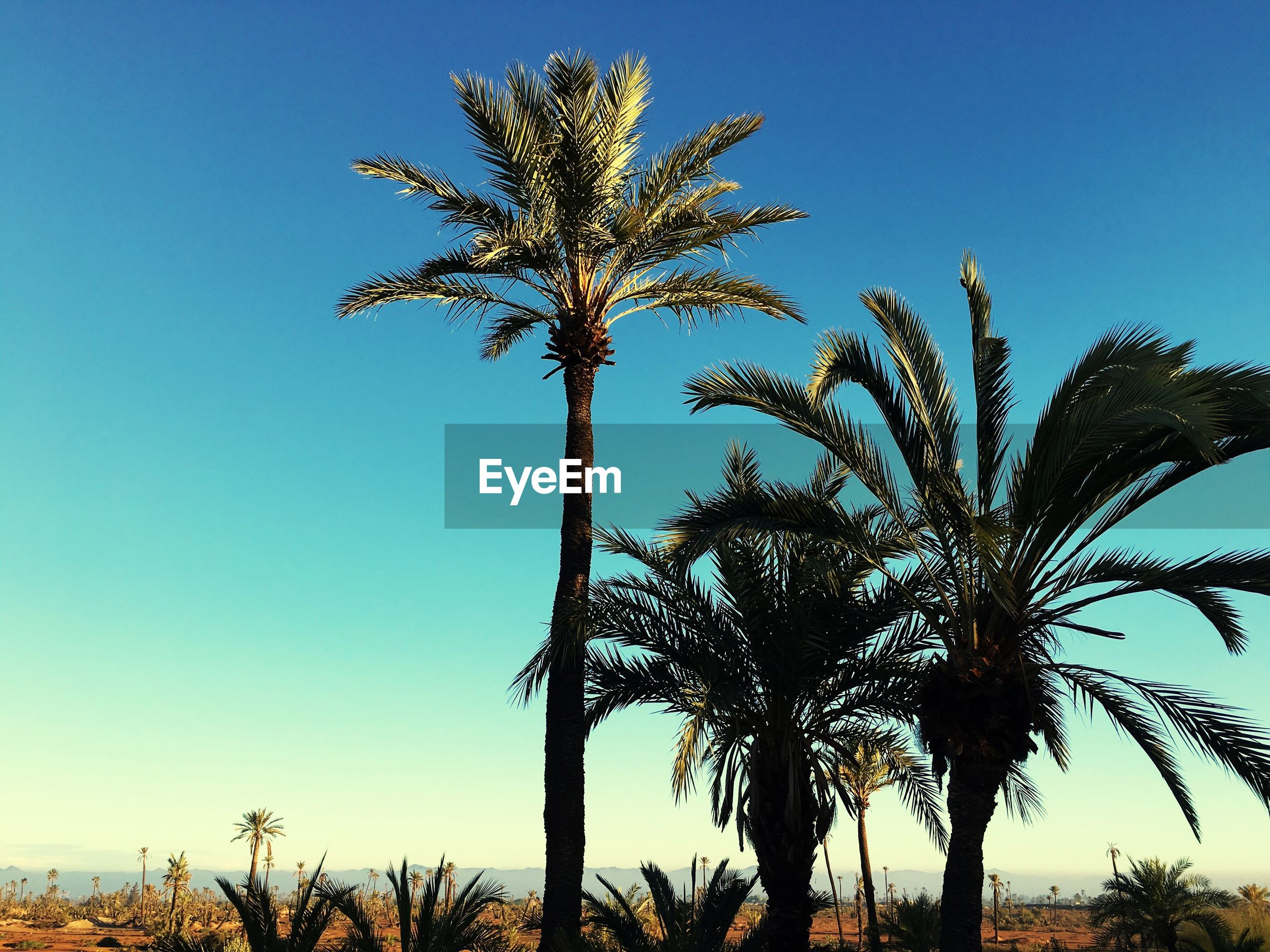 tree, low angle view, sky, growth, nature, palm tree, no people, outdoors, beauty in nature, branch, close-up, day, star - space, fame