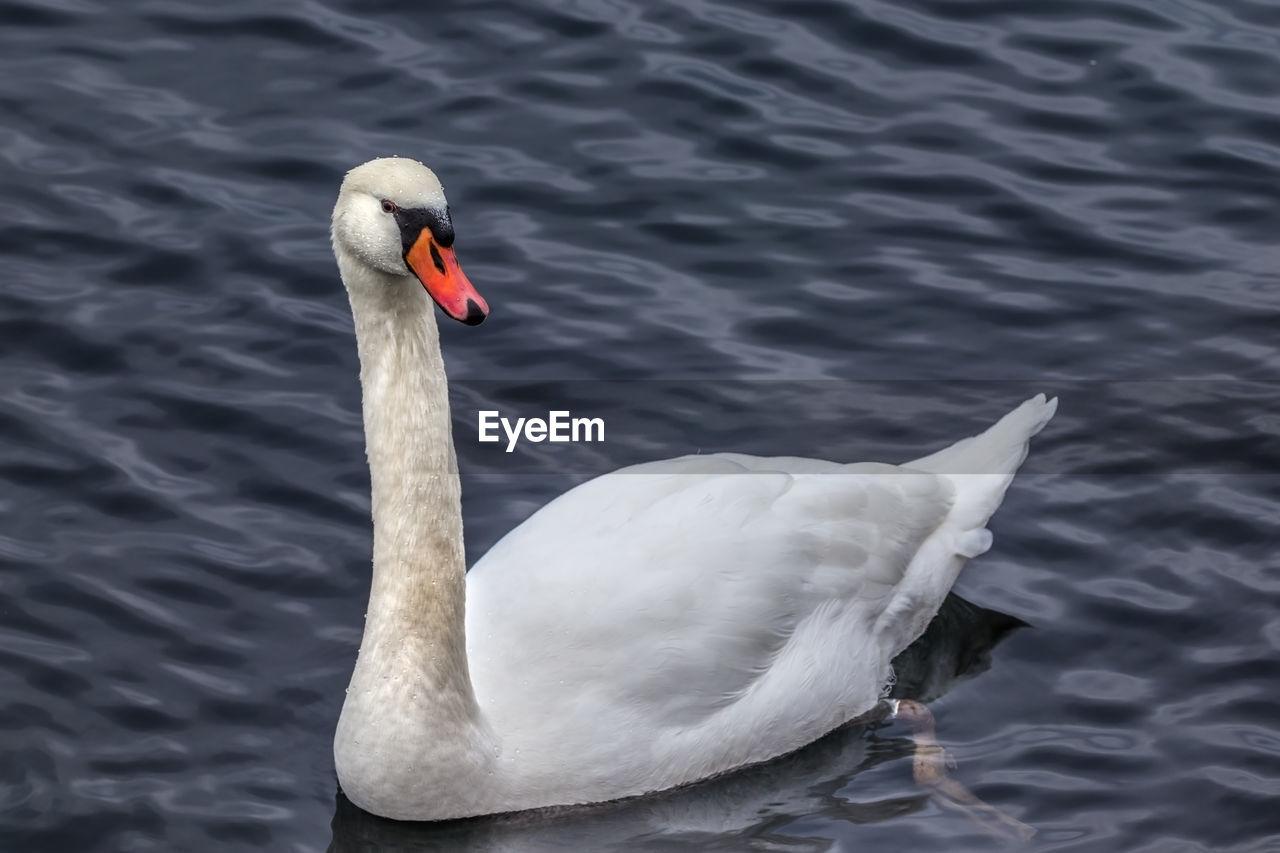 animals in the wild, one animal, animal themes, bird, animal wildlife, swan, lake, water, day, no people, nature, outdoors, beak, swimming, close-up