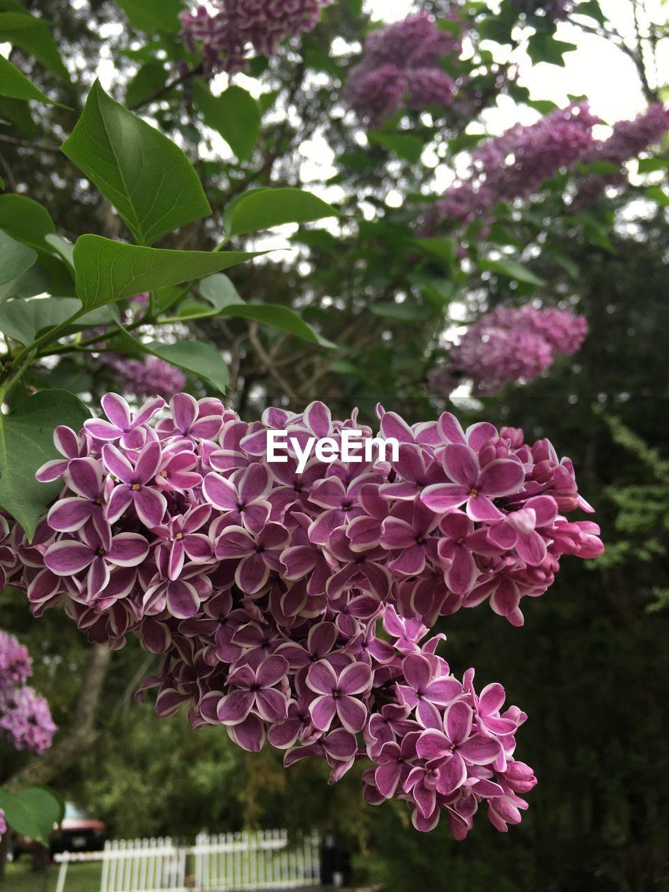 pink color, flower, nature, beauty in nature, growth, fragility, petal, focus on foreground, day, no people, outdoors, blooming, plant, freshness, close-up, flower head, tree, lilac