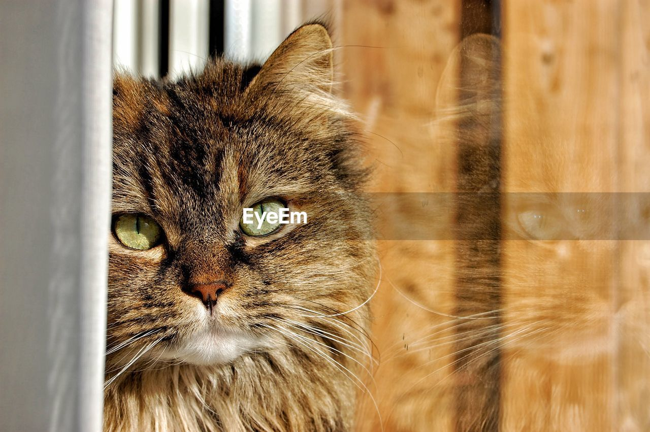 cat, domestic, domestic cat, feline, domestic animals, mammal, pets, animal themes, animal, one animal, vertebrate, whisker, portrait, no people, close-up, looking at camera, animal body part, looking, day, focus on foreground, animal head, animal eye, maine coon cat, tabby