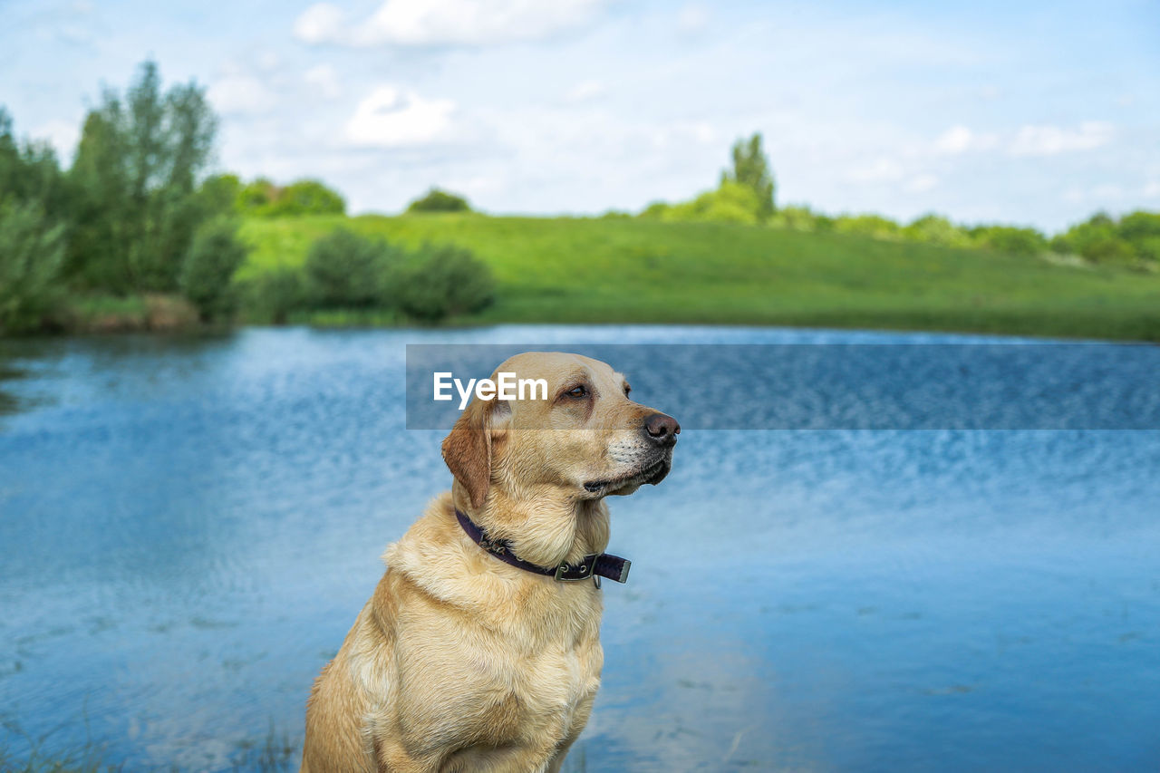 dog, canine, one animal, pets, domestic, water, domestic animals, animal themes, animal, mammal, lake, looking, looking away, focus on foreground, vertebrate, retriever, day, nature, no people, outdoors, animal head