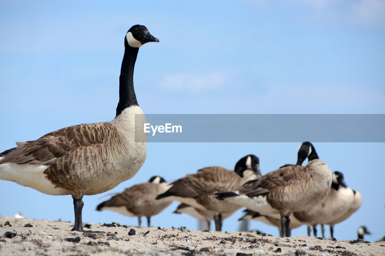 Low angle view of canada geese against sky