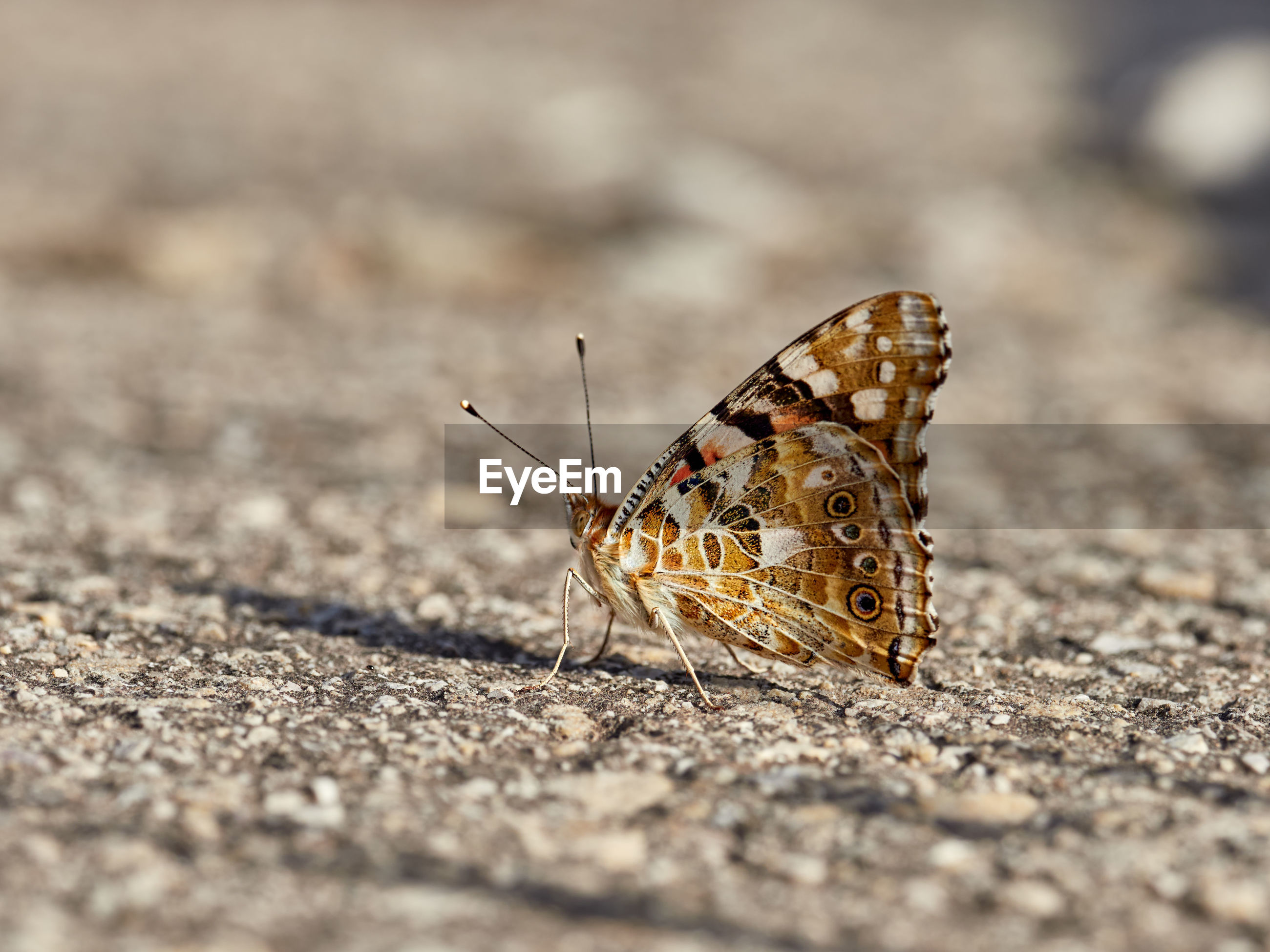 Painted lady butterfly, vanessa cardui, perched on the ground, near bellus, spain