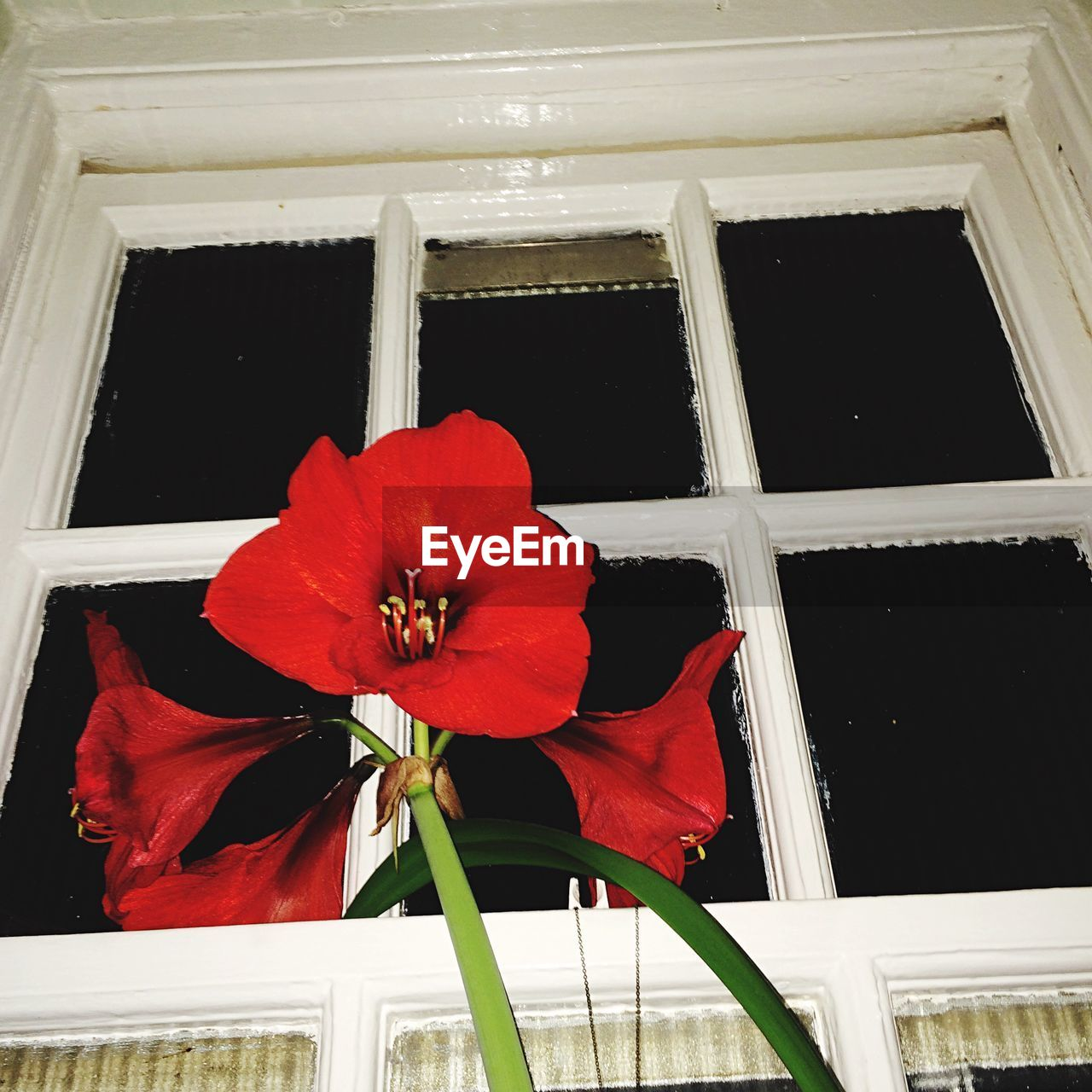 flower, fragility, window, flower head, petal, beauty in nature, freshness, nature, day, red, no people, growth, indoors, architecture, close-up