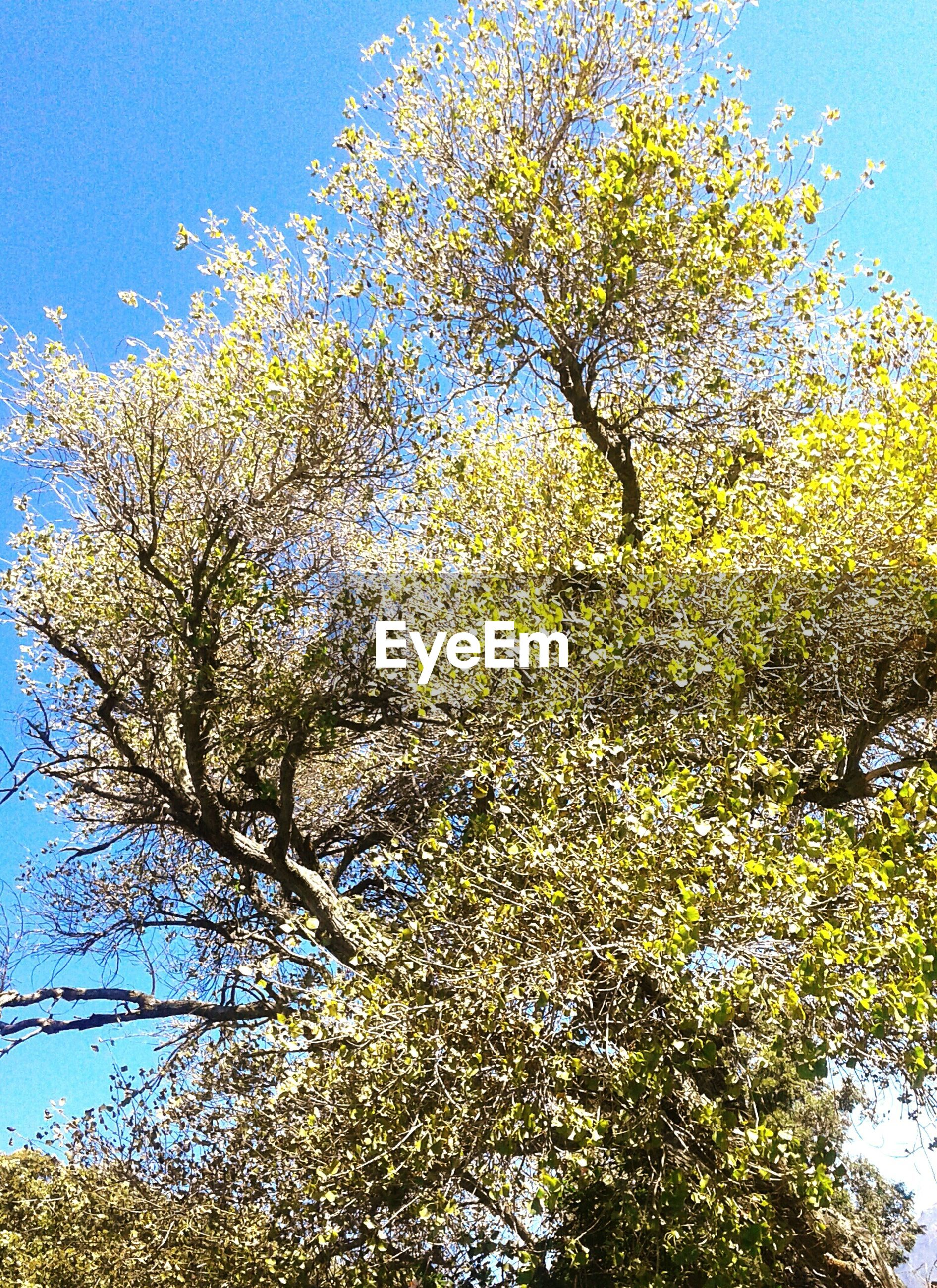 tree, low angle view, branch, clear sky, growth, blue, yellow, nature, beauty in nature, tranquility, sky, sunlight, day, outdoors, no people, freshness, green color, scenics, leaf, tranquil scene