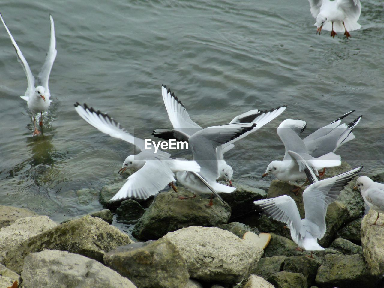 animal themes, bird, animals in the wild, animal wildlife, spread wings, nature, flying, white color, lake, large group of animals, water, high angle view, day, no people, outdoors, seagull, motion, water bird, swan, flapping, togetherness, beauty in nature