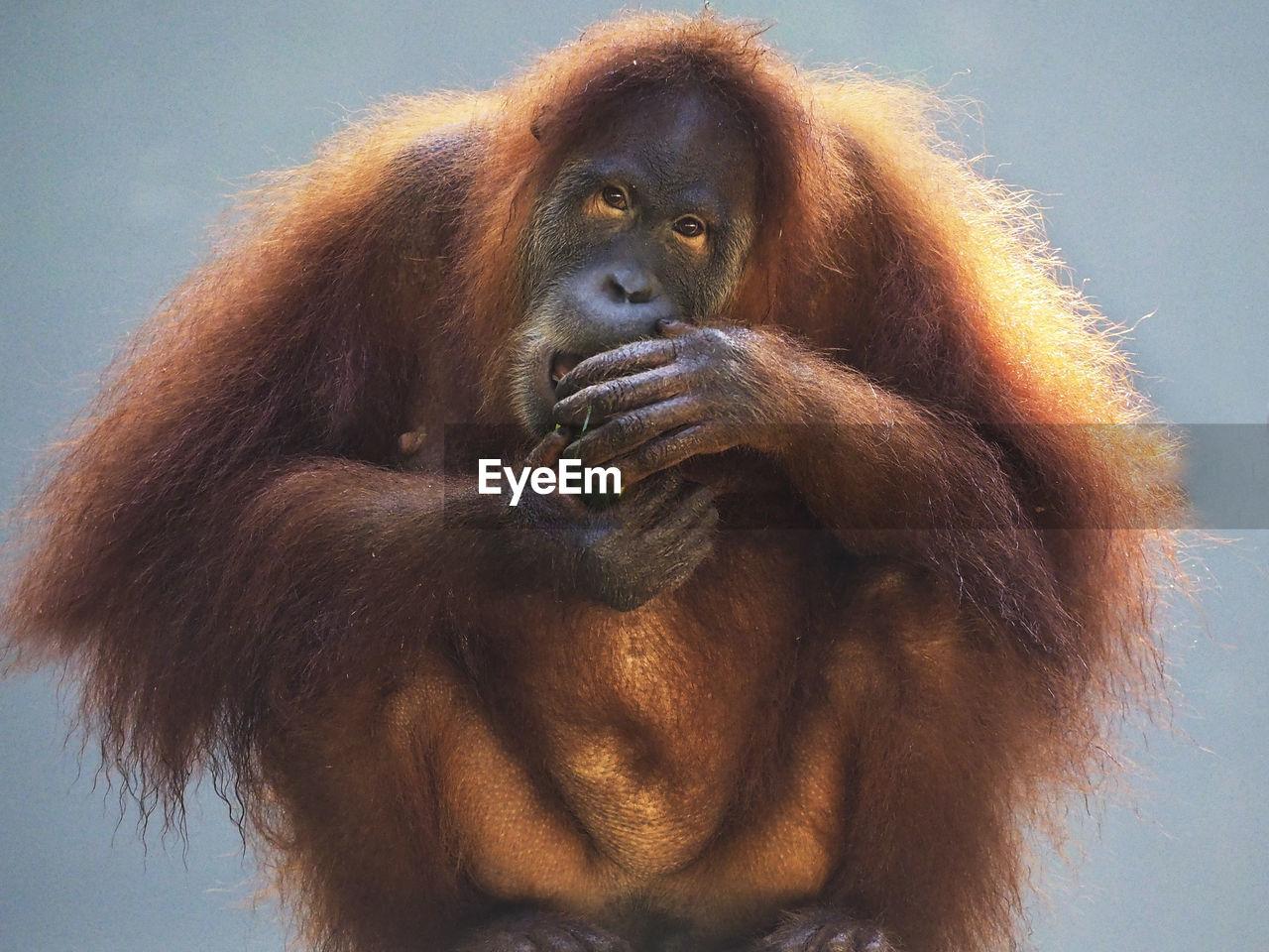 primate, monkey, animal, mammal, ape, animal wildlife, animal themes, one animal, animals in the wild, vertebrate, portrait, close-up, no people, brown, front view, orangutan, looking, day, hair, looking at camera, animal head