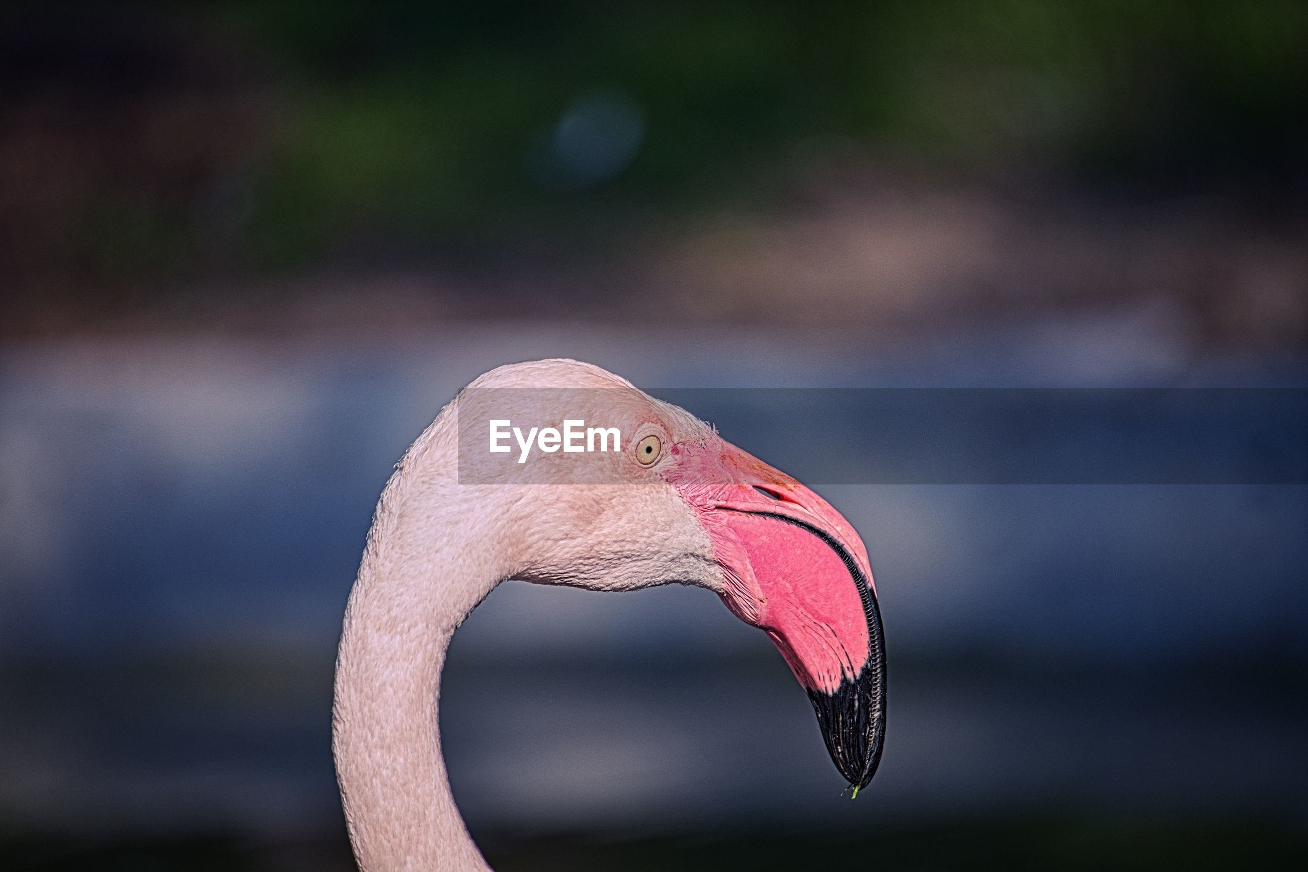 animal themes, animal, flamingo, animal wildlife, bird, one animal, wildlife, beak, water bird, pink, animal body part, water, close-up, nature, no people, focus on foreground, outdoors, travel destinations, lake, side view, day, animal head