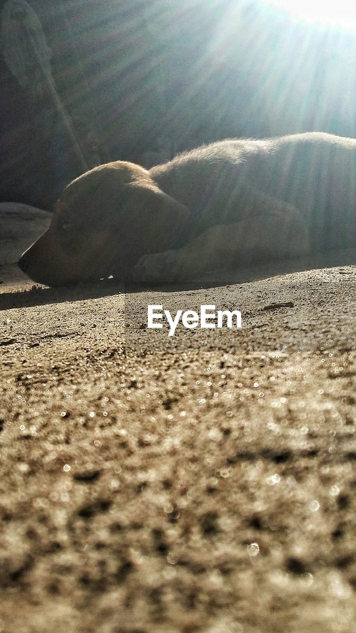 sunlight, one animal, animal themes, sand, mammal, day, nature, relaxation, no people, domestic animals, indoors, close-up