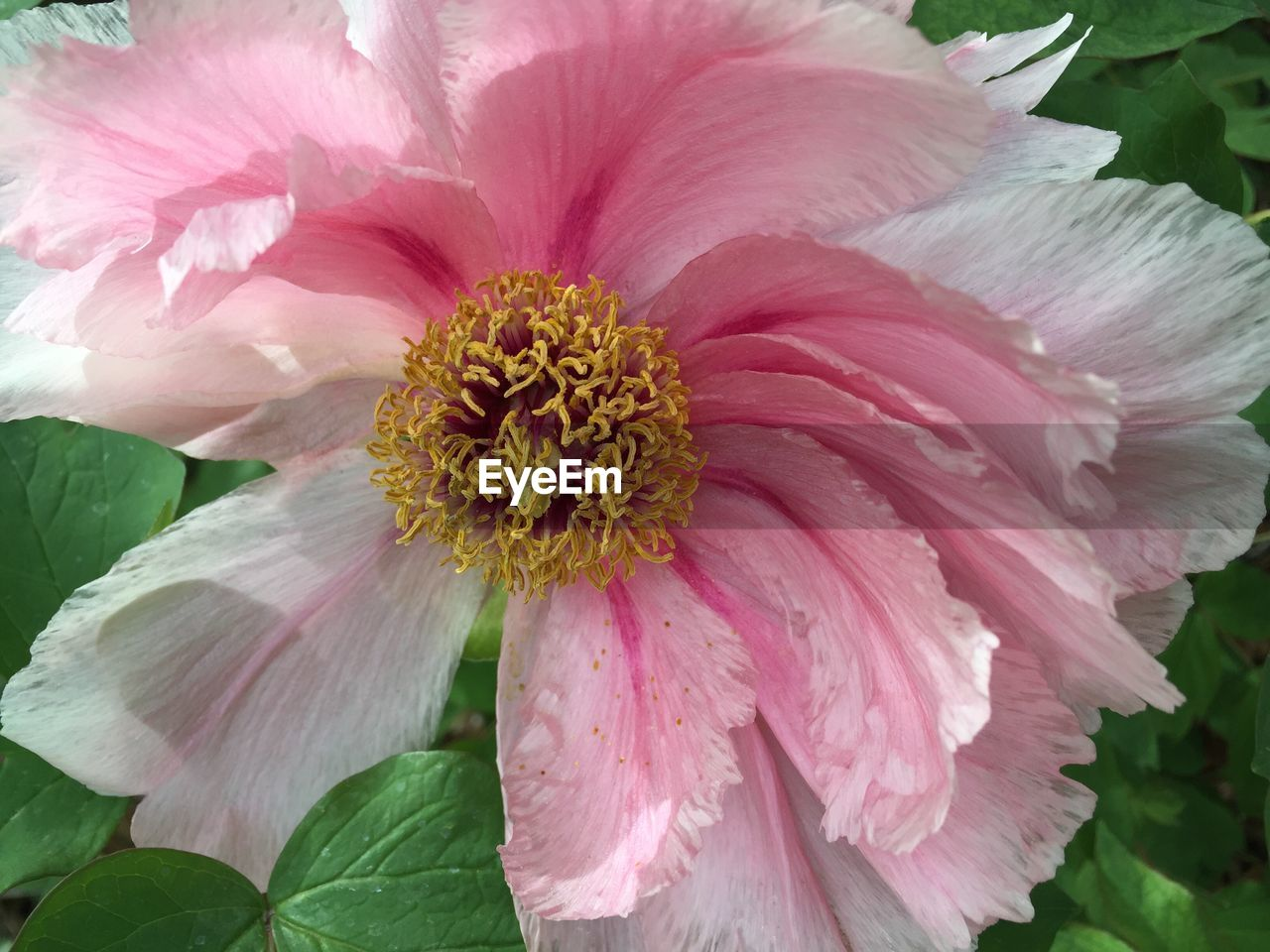 flower, petal, fragility, flower head, beauty in nature, nature, plant, growth, no people, pink color, freshness, pollen, close-up, blooming, outdoors, day, leaf, hibiscus