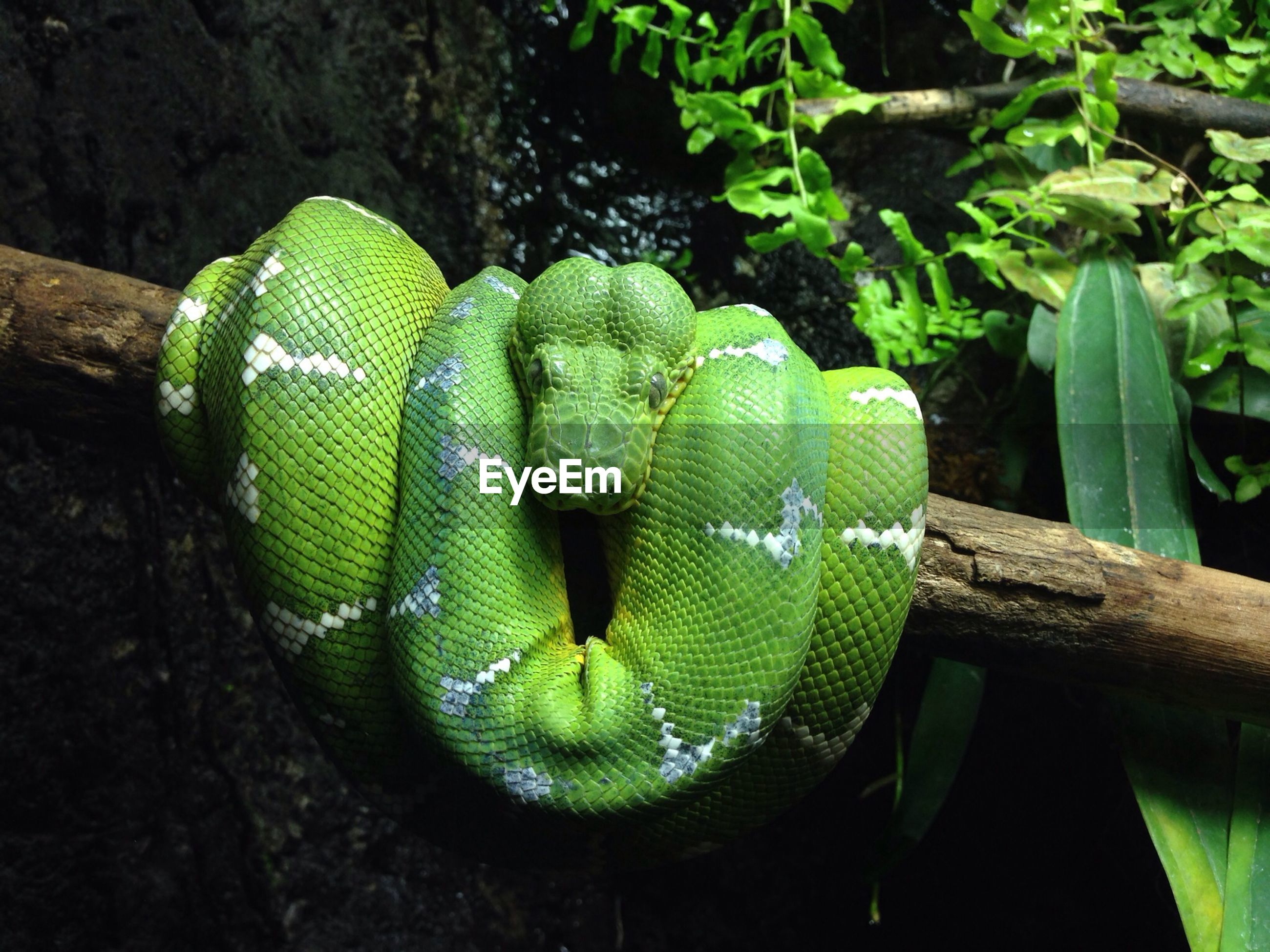 Green snake rolled on wood
