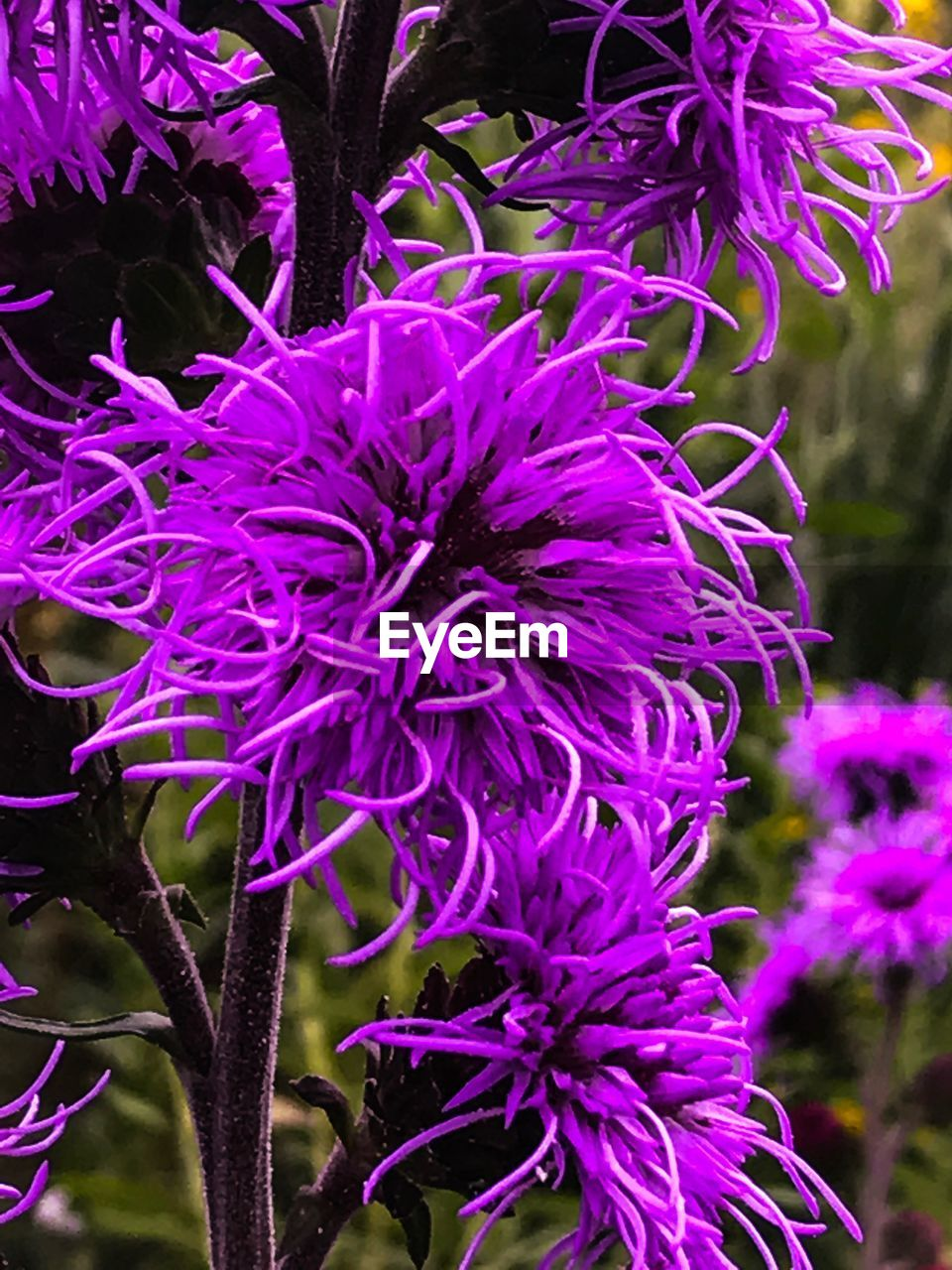 flower, growth, beauty in nature, nature, botany, fragility, purple, plant, blossom, petal, no people, freshness, close-up, flower head, day, springtime, outdoors, blooming