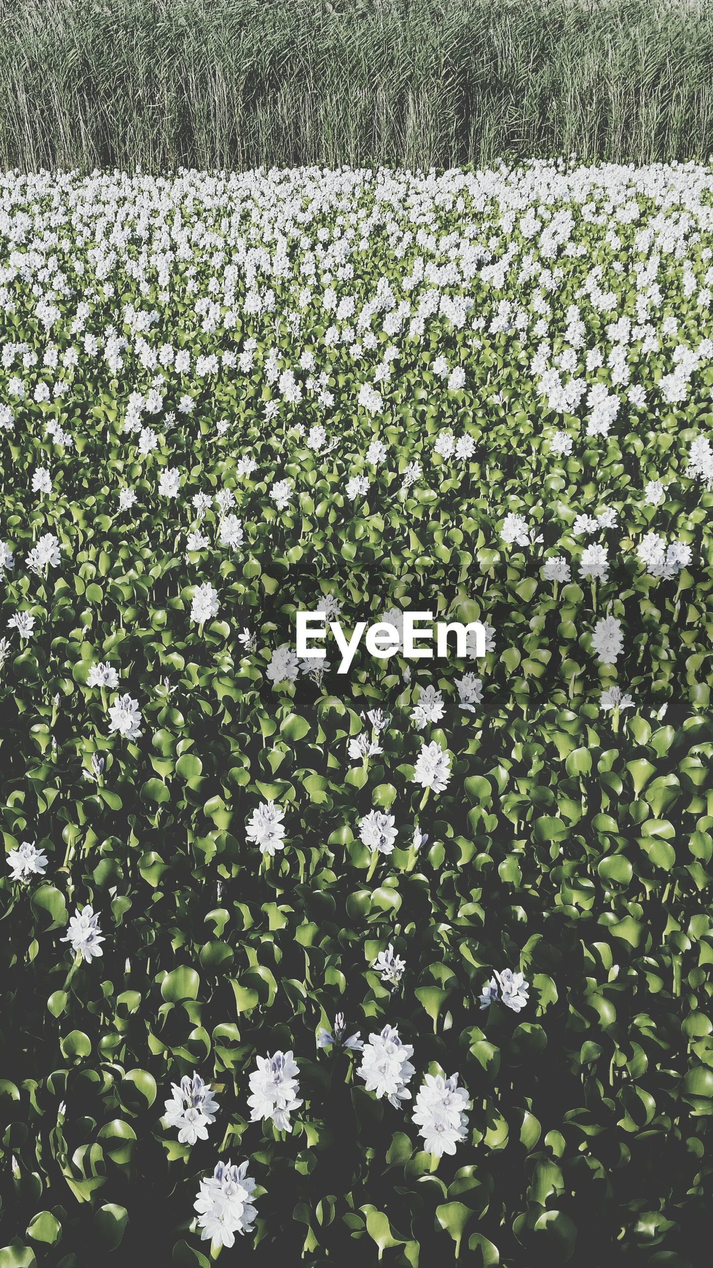 HIGH ANGLE VIEW OF WHITE FLOWERING PLANTS IN FIELD