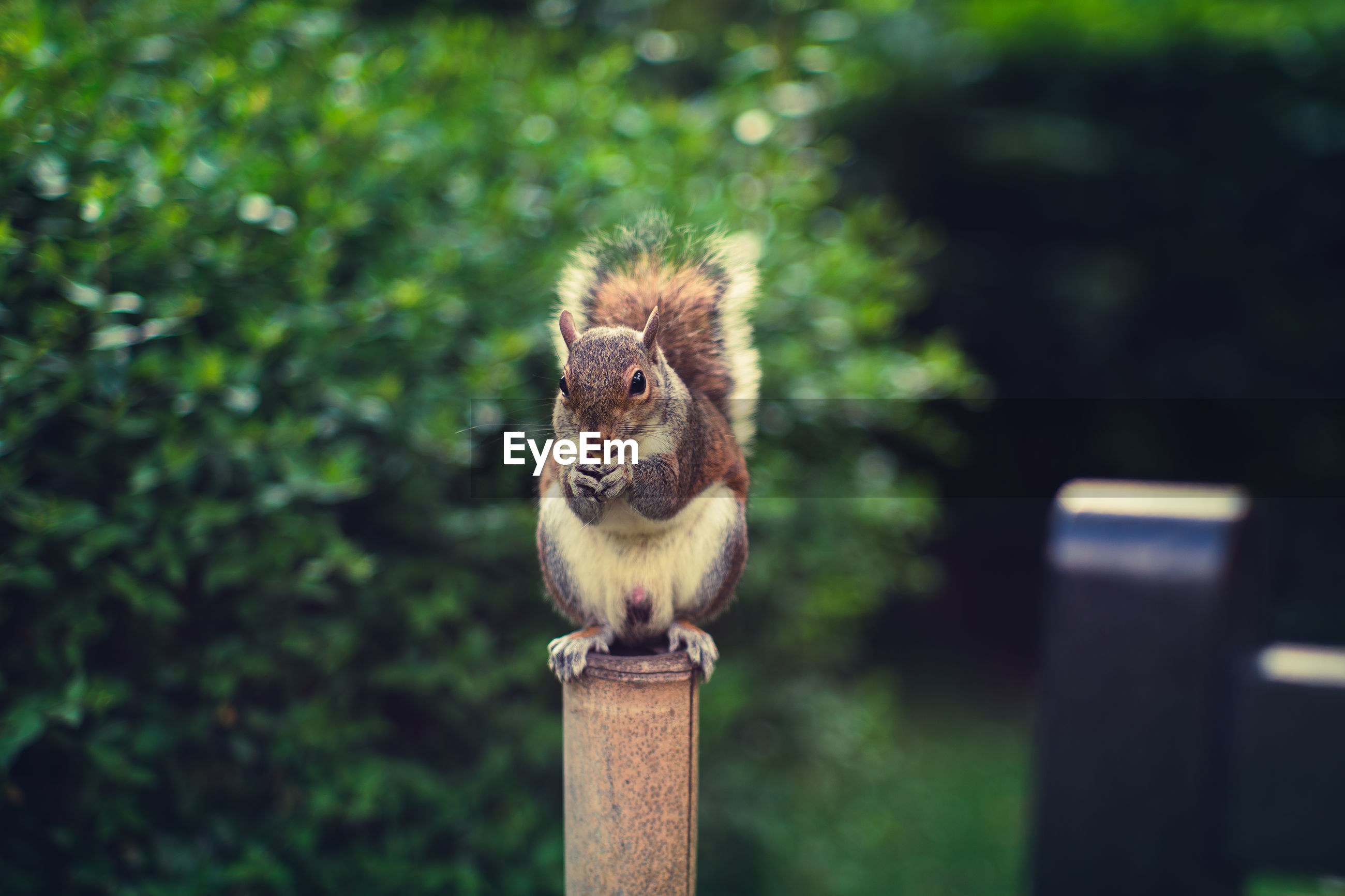 Squirrel sitting on pole against trees