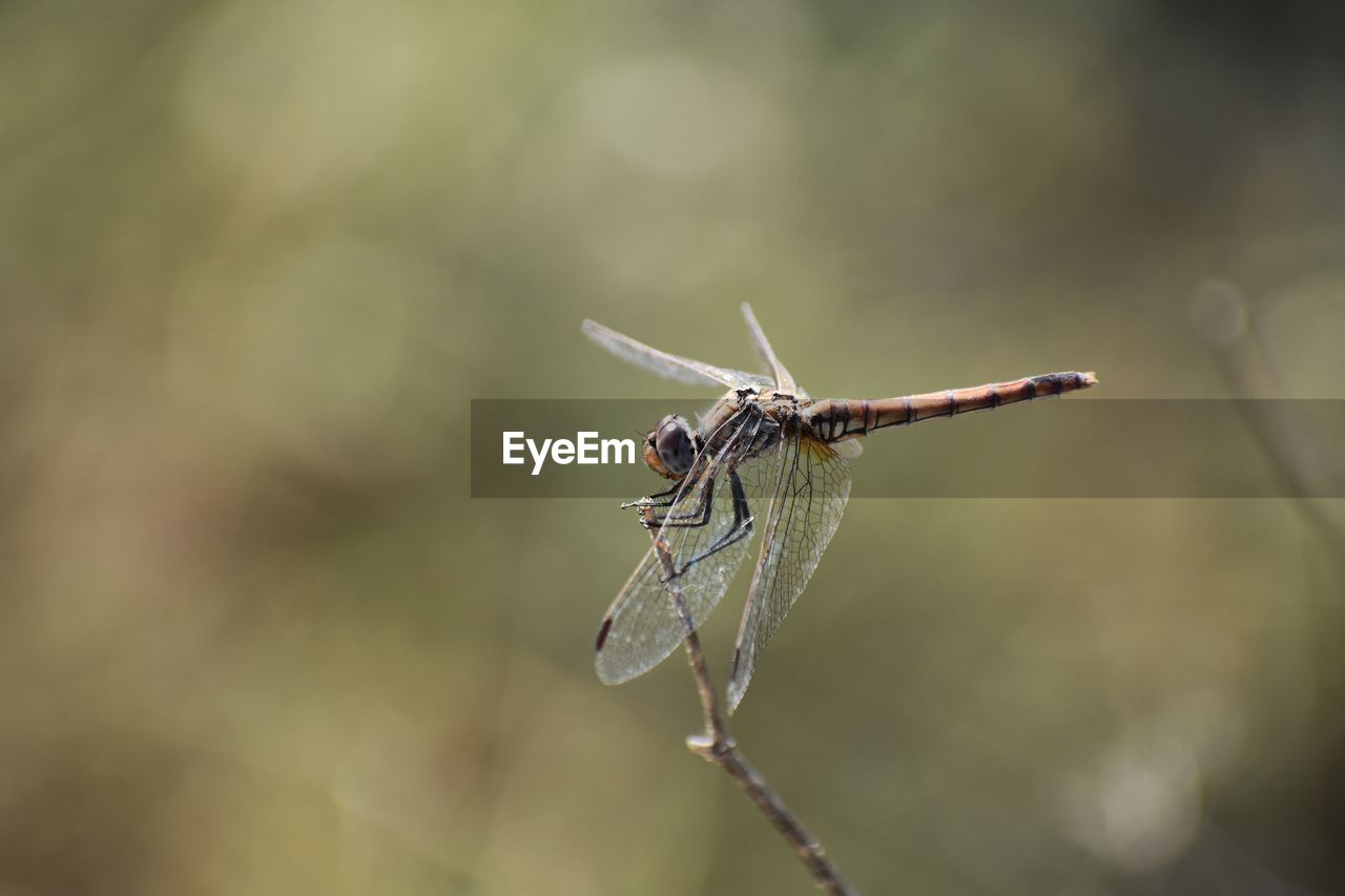 one animal, animal themes, animals in the wild, animal, insect, invertebrate, animal wildlife, close-up, focus on foreground, day, animal wing, plant, no people, nature, selective focus, twig, dragonfly, outdoors, zoology, beauty in nature