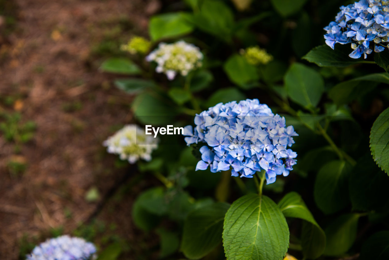 flower, beauty in nature, growth, nature, fragility, petal, freshness, plant, hydrangea, green color, flower head, no people, day, outdoors, blooming, leaf, close-up