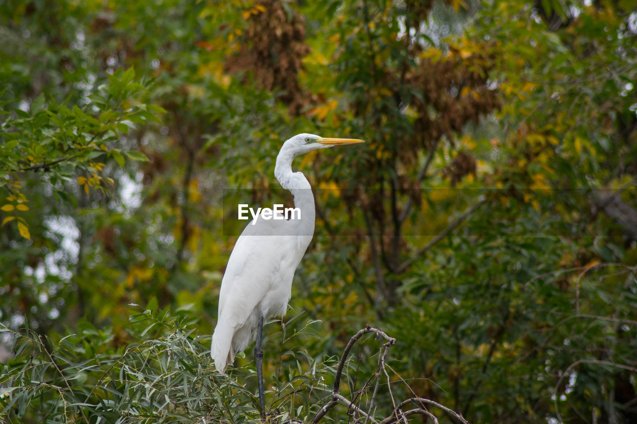 animal themes, animal wildlife, animals in the wild, vertebrate, bird, animal, one animal, plant, focus on foreground, white color, tree, egret, no people, nature, green color, day, perching, great egret, growth, land, outdoors, beak, animal neck