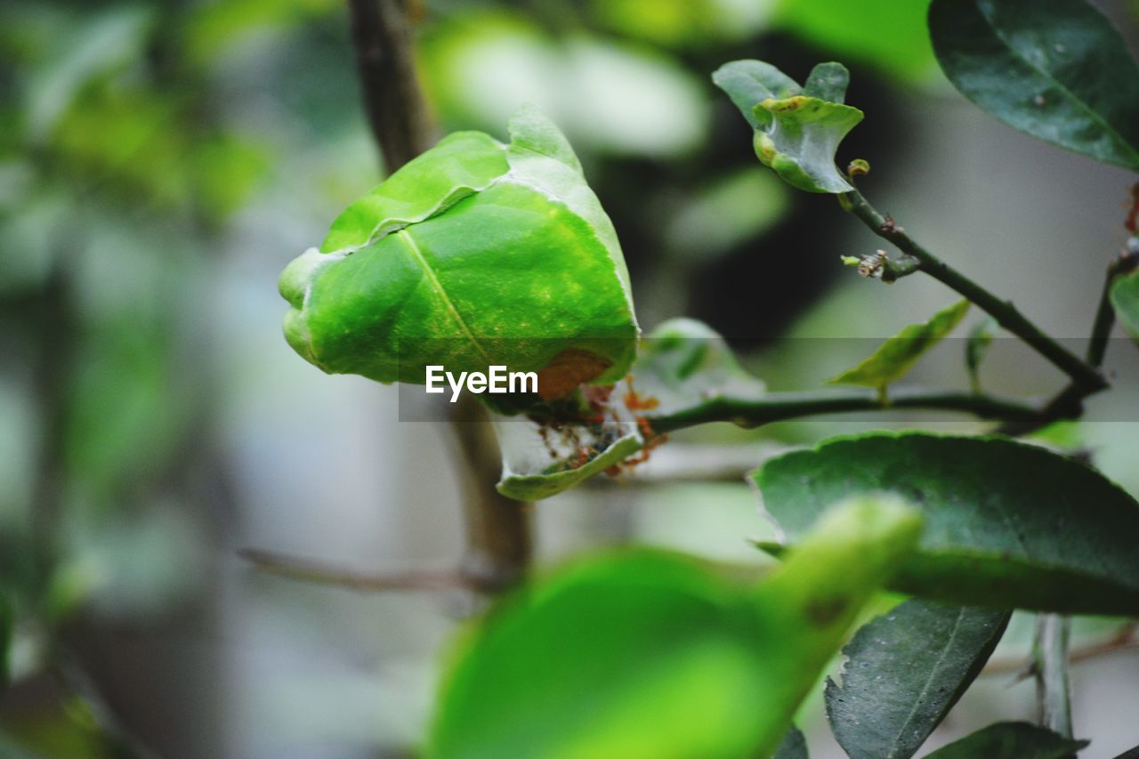 green color, growth, close-up, plant part, leaf, plant, no people, focus on foreground, selective focus, nature, day, beauty in nature, food, food and drink, freshness, tree, outdoors, insect, healthy eating, fruit