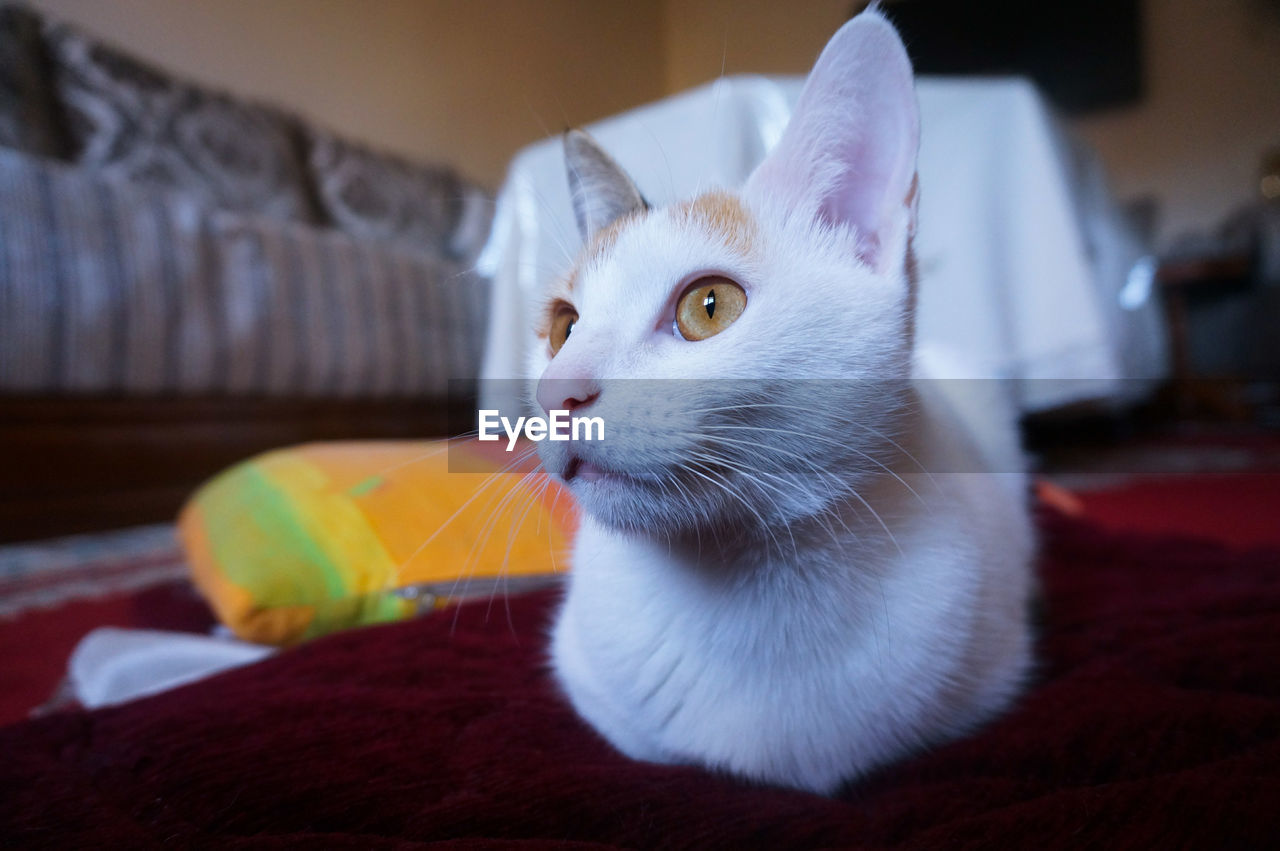 pets, domestic cat, domestic animals, one animal, animal themes, mammal, feline, whisker, cat, focus on foreground, indoors, no people, sitting, close-up, portrait, day