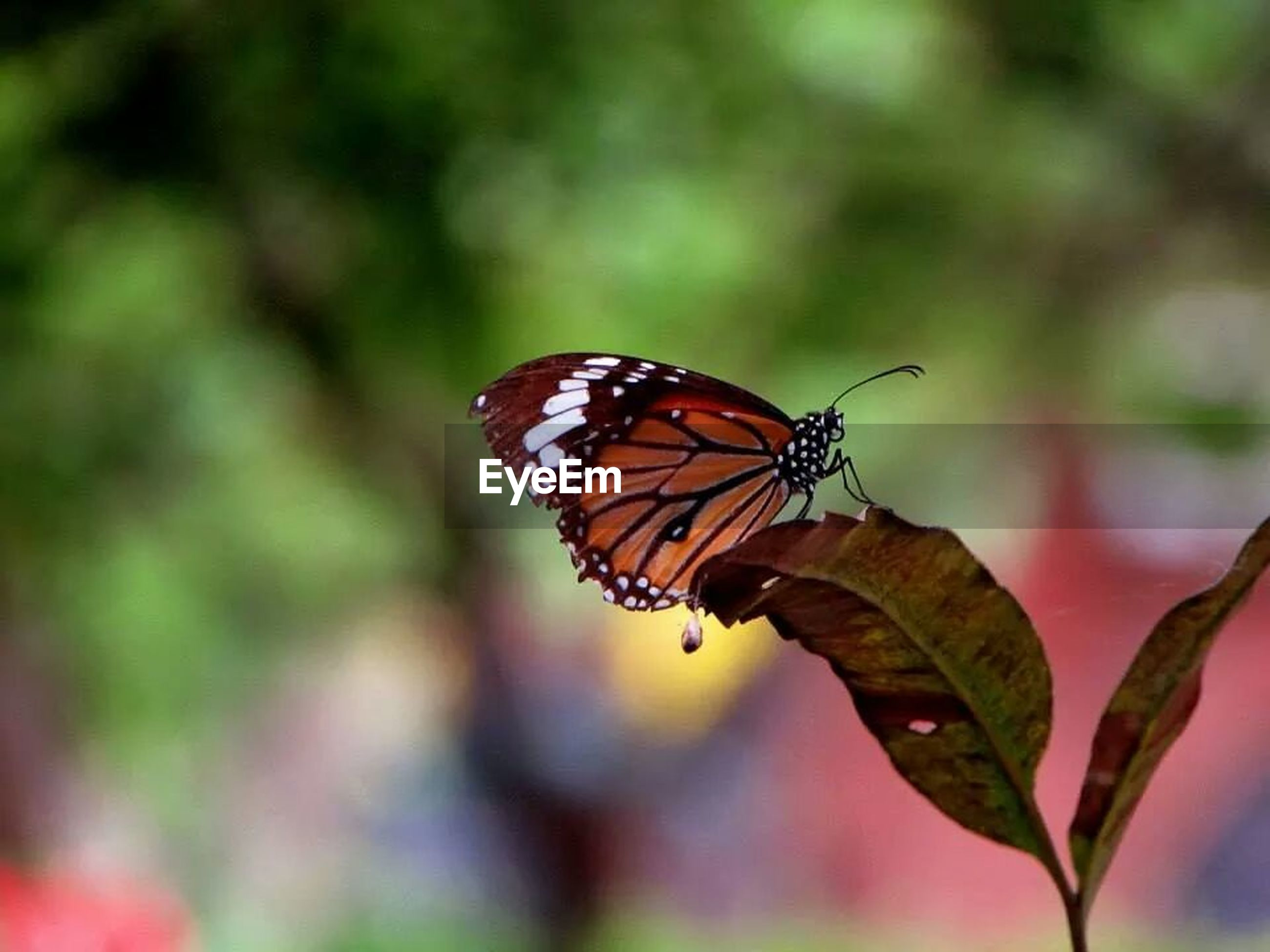 one animal, animals in the wild, animal themes, insect, wildlife, butterfly - insect, focus on foreground, butterfly, close-up, leaf, animal markings, orange color, natural pattern, nature, beauty in nature, perching, plant, animal wing, red, outdoors
