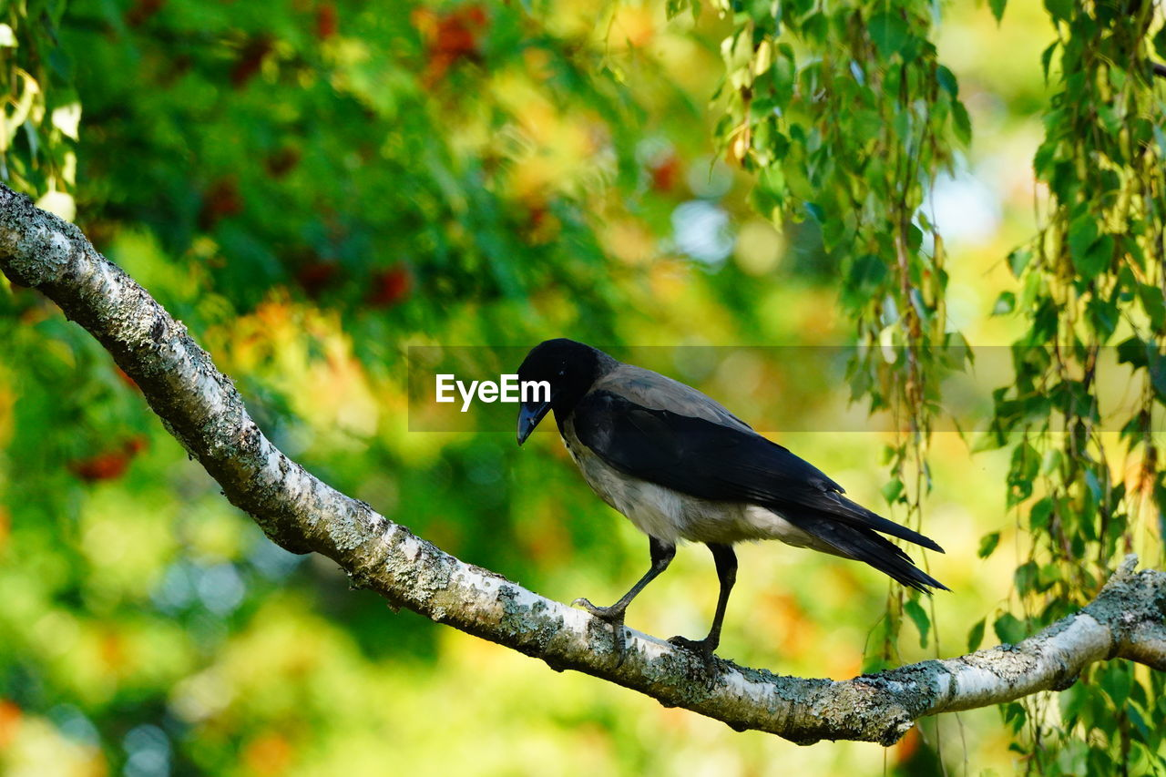 animal wildlife, bird, animal themes, animals in the wild, animal, vertebrate, tree, one animal, plant, branch, perching, focus on foreground, no people, day, nature, outdoors, green color, beauty in nature, close-up, growth